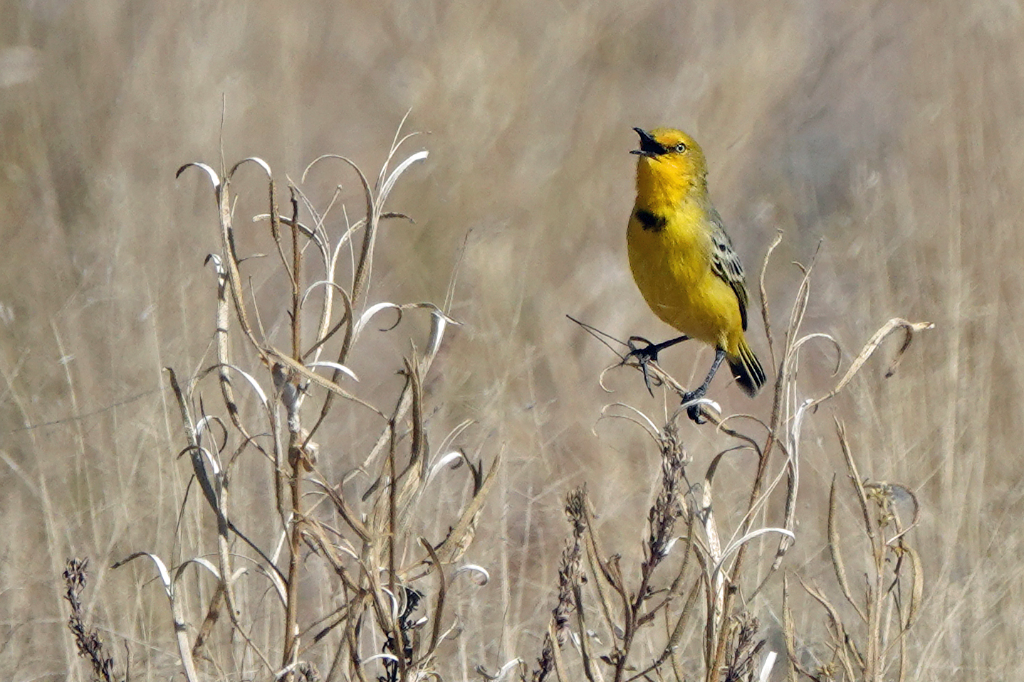 Yellow Chat (Image ID 40348)