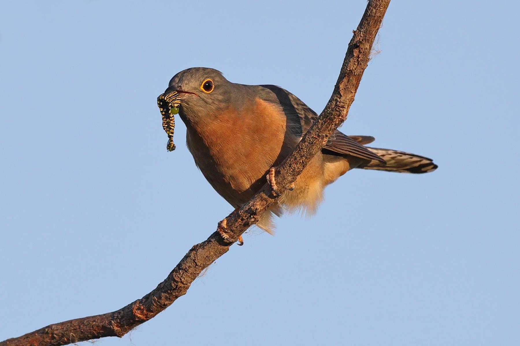 Fan-tailed Cuckoo (Image ID 40418)