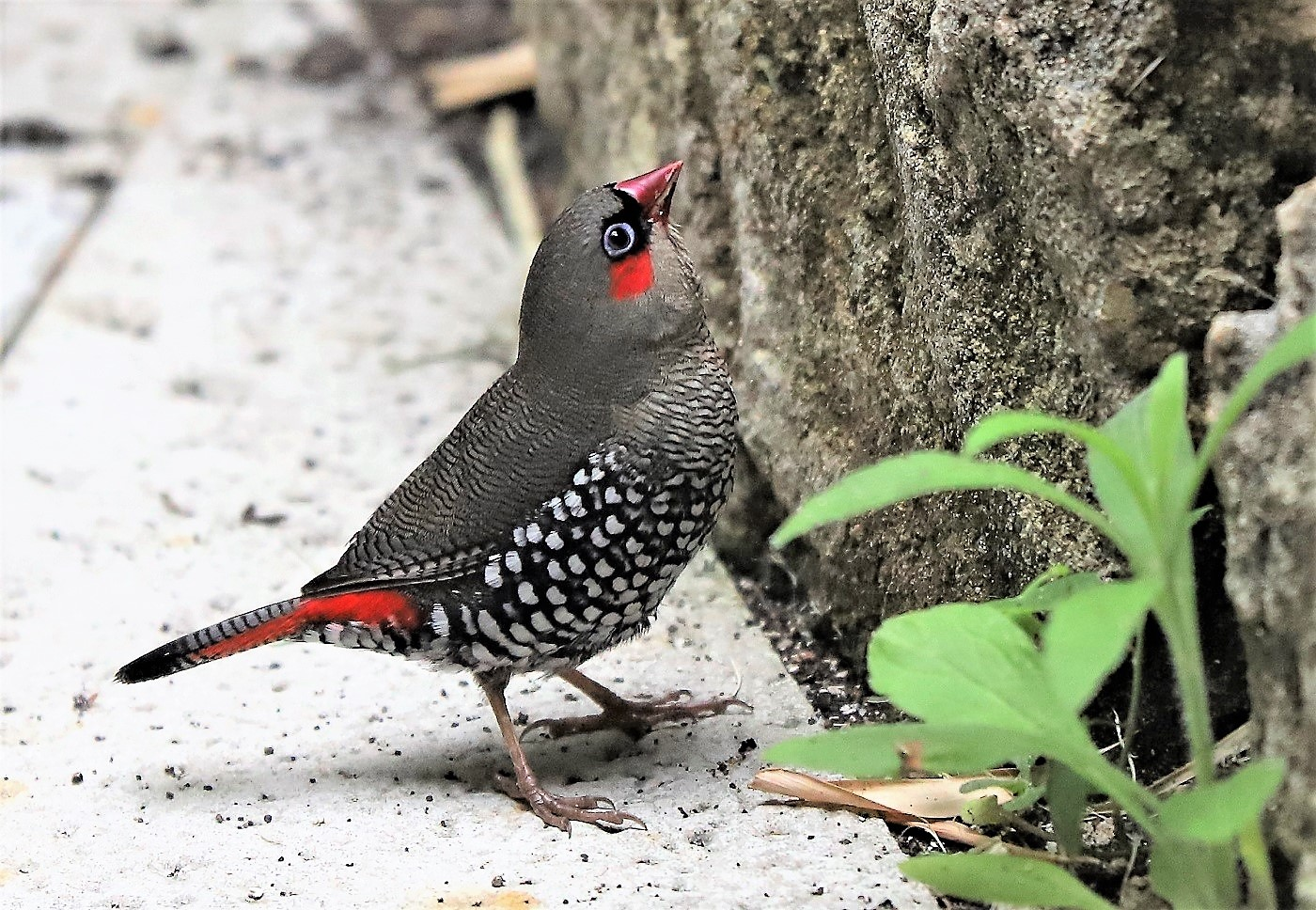 Red-eared Firetail (Image ID 40528)
