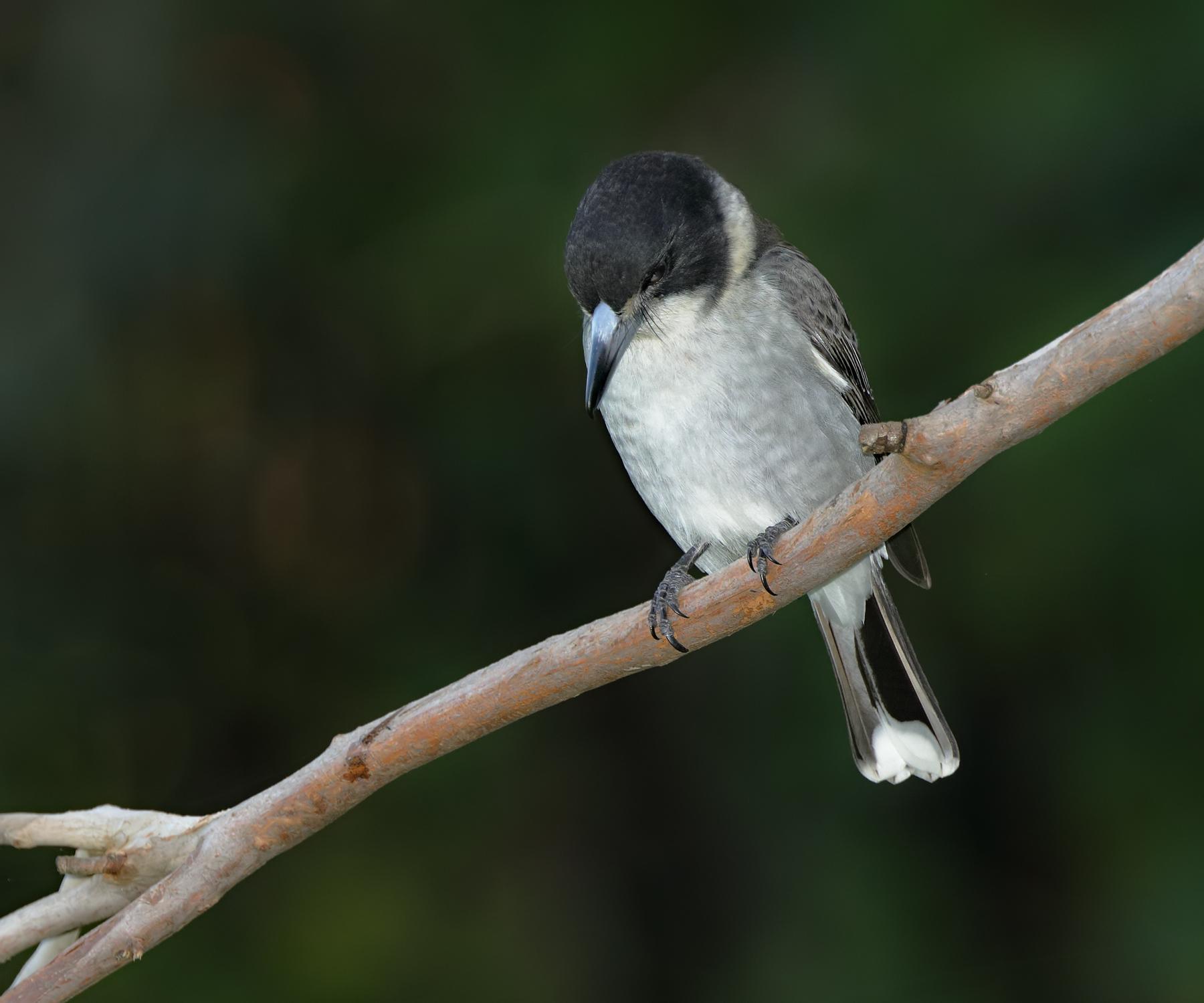 Grey Butcherbird (Image ID 40466)