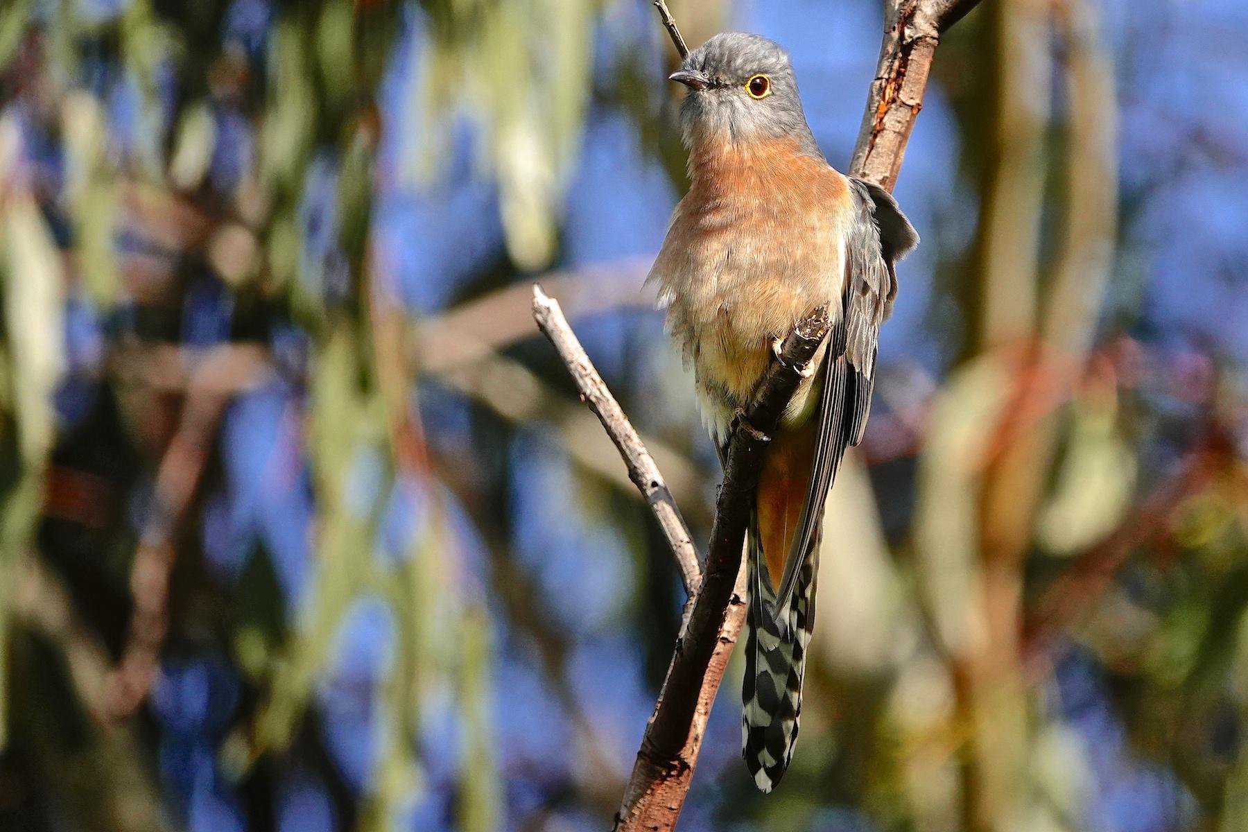 Fan-tailed Cuckoo (Image ID 40534)