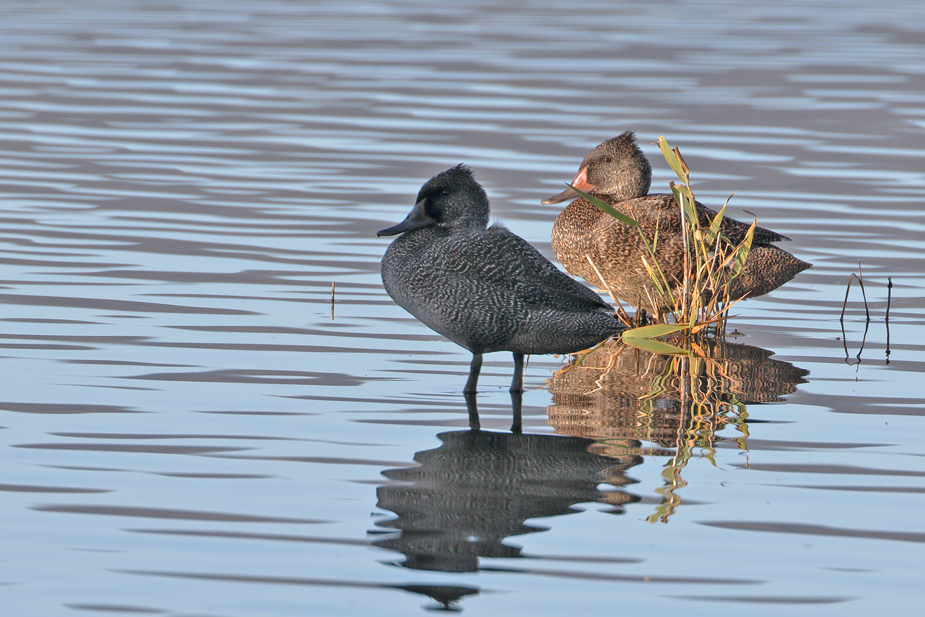Freckled Duck (Image ID 40605)