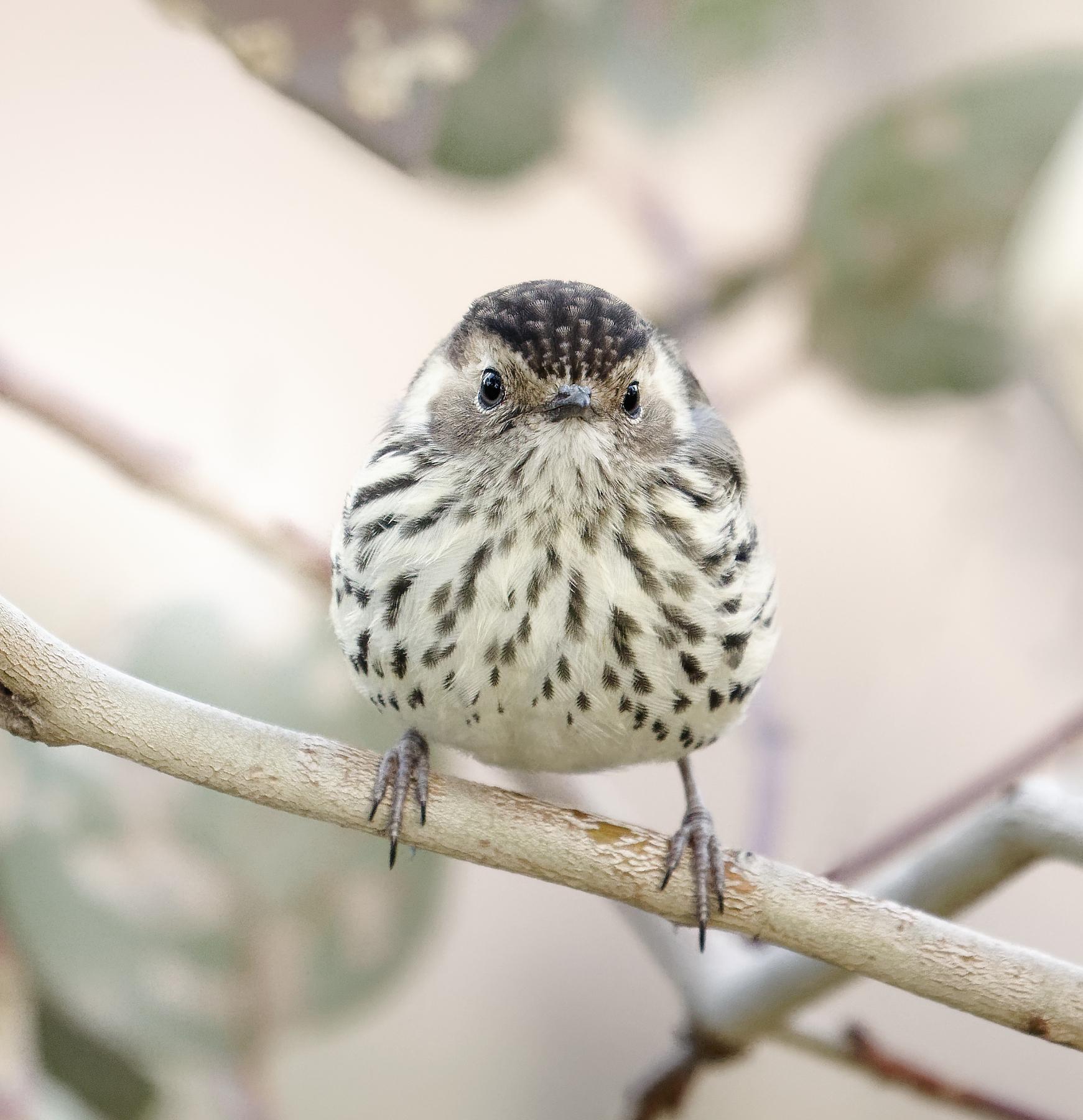 Speckled Warbler (Image ID 40557)