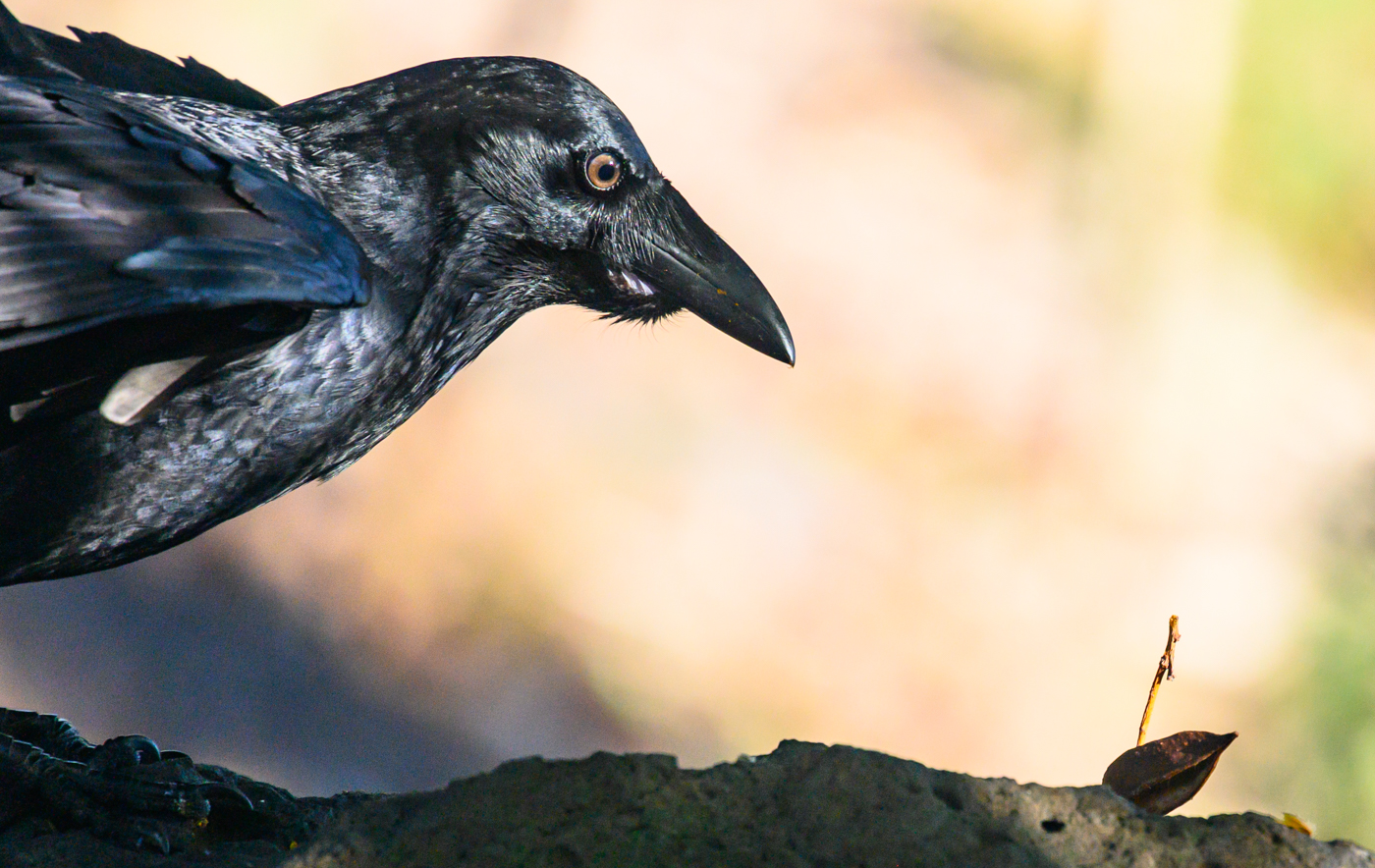 Little Raven (Image ID 40393)