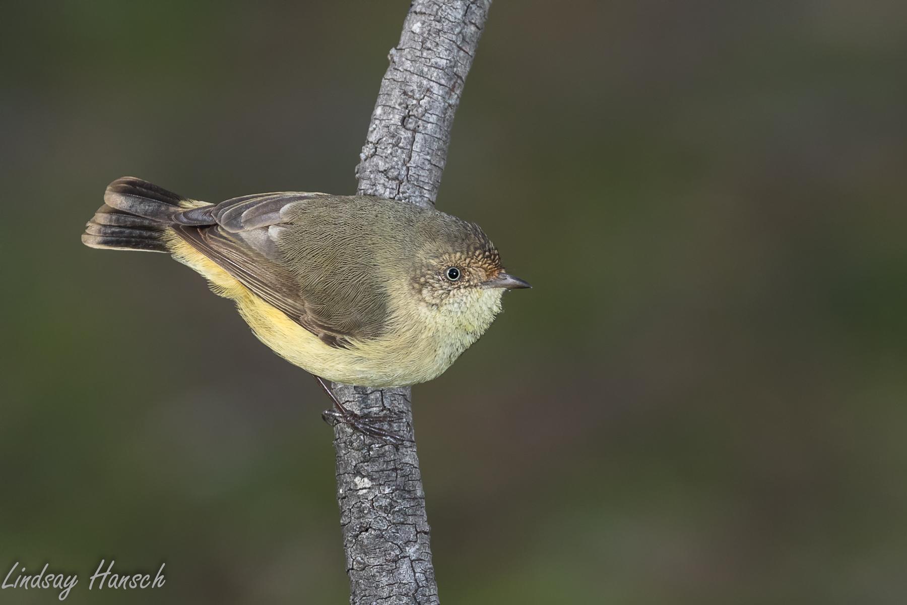 Buff-rumped Thornbill (Image ID 40494)