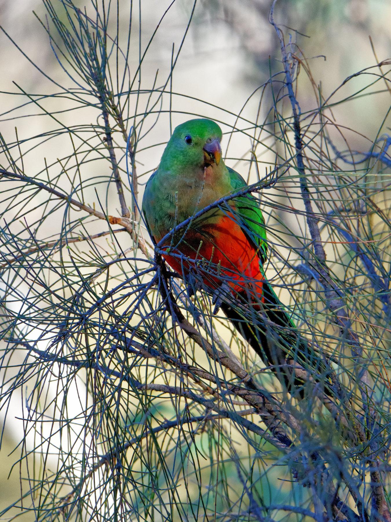 Australian King-Parrot (Image ID 40880)