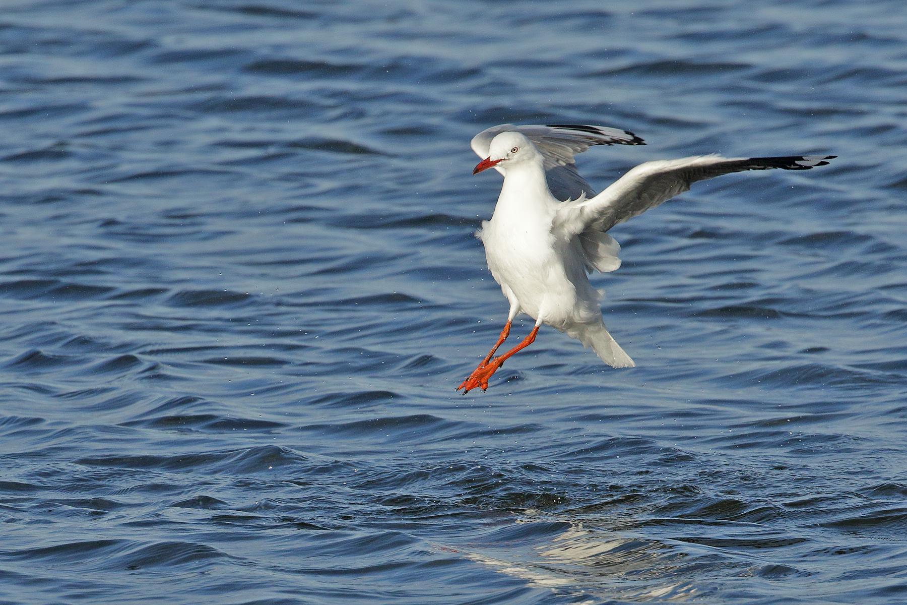 Silver Gull (Image ID 40926)