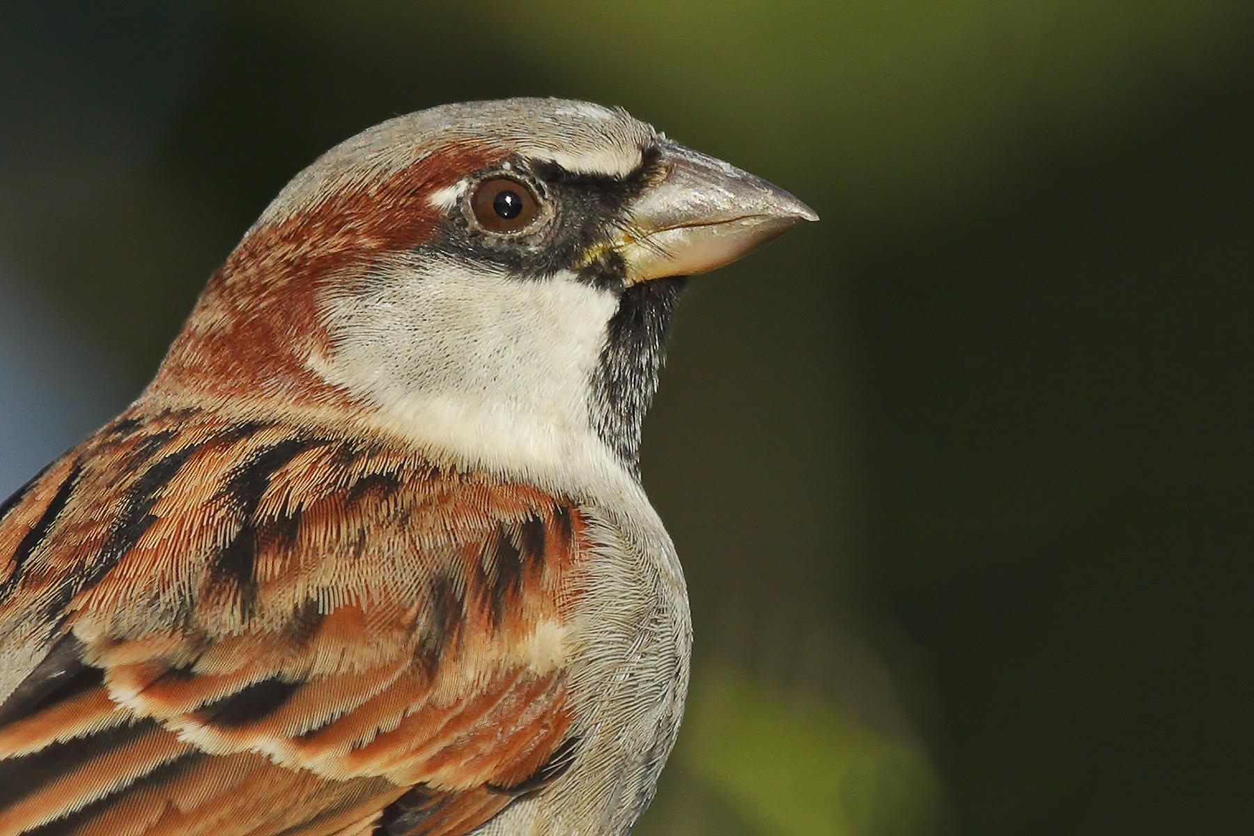 House Sparrow (Image ID 40838)