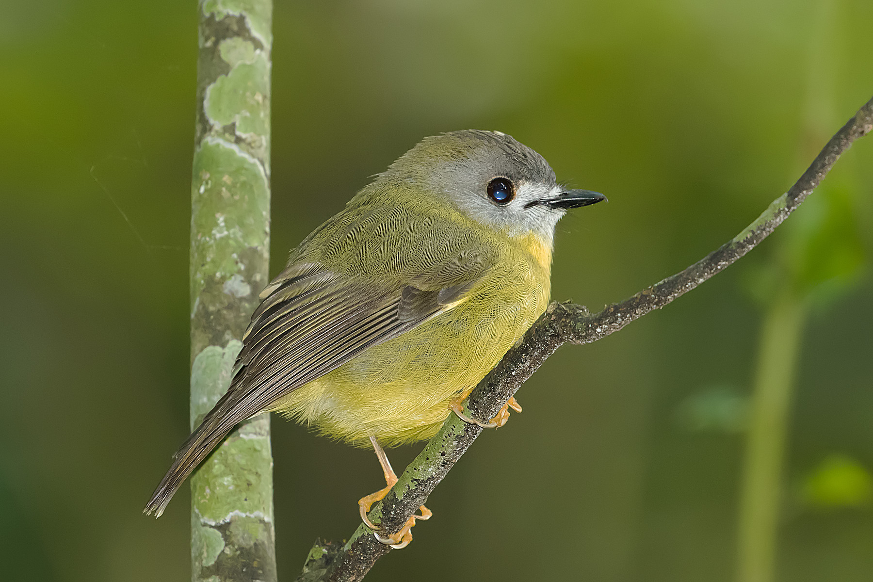 Pale-yellow Robin (Image ID 40693)