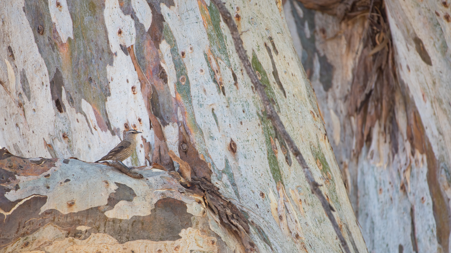 Brown Treecreeper (Image ID 40916)
