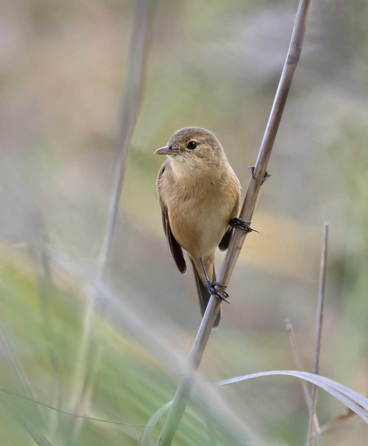 Australian Reed-Warbler (Image ID 40929)