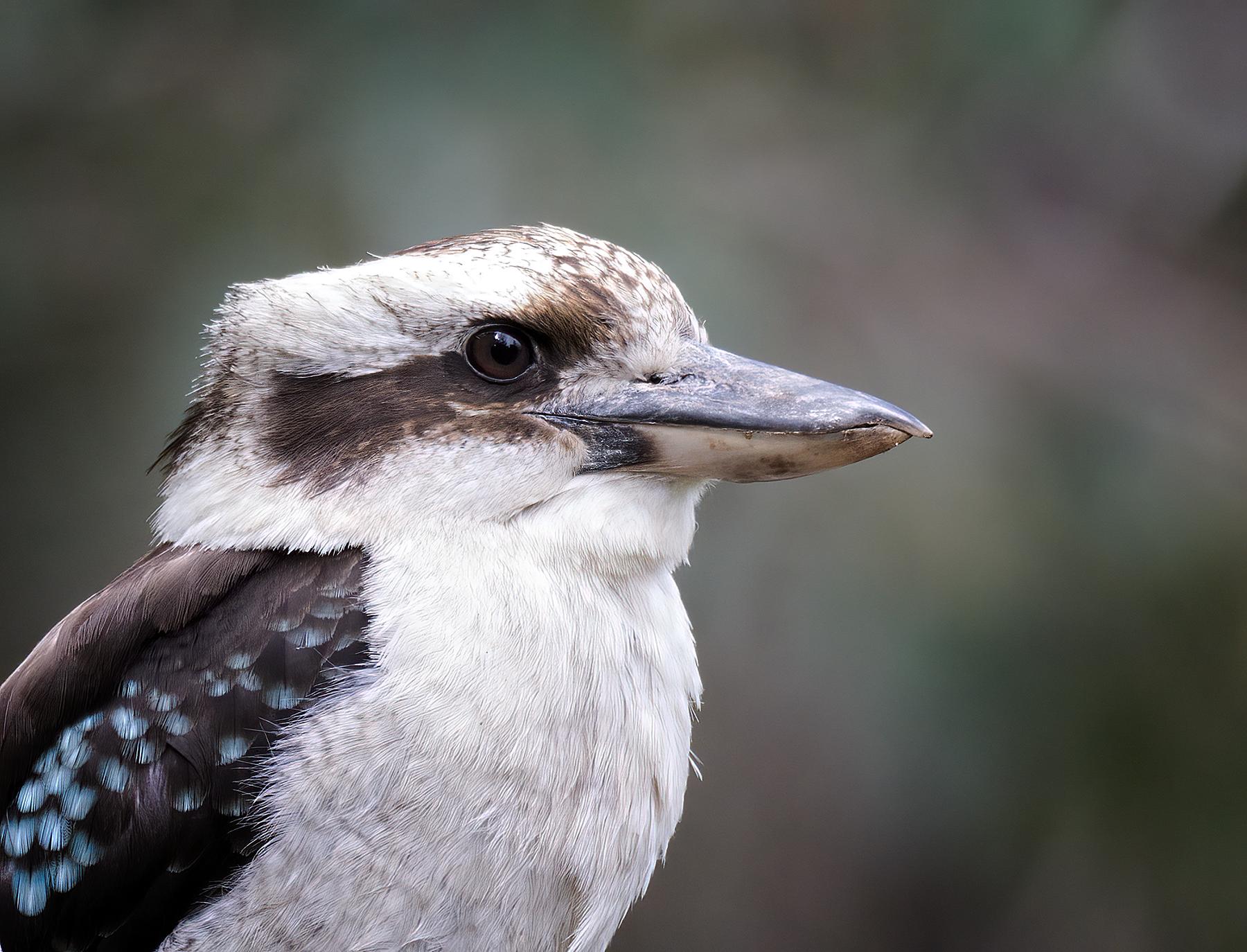 Laughing Kookaburra (Image ID 40864)