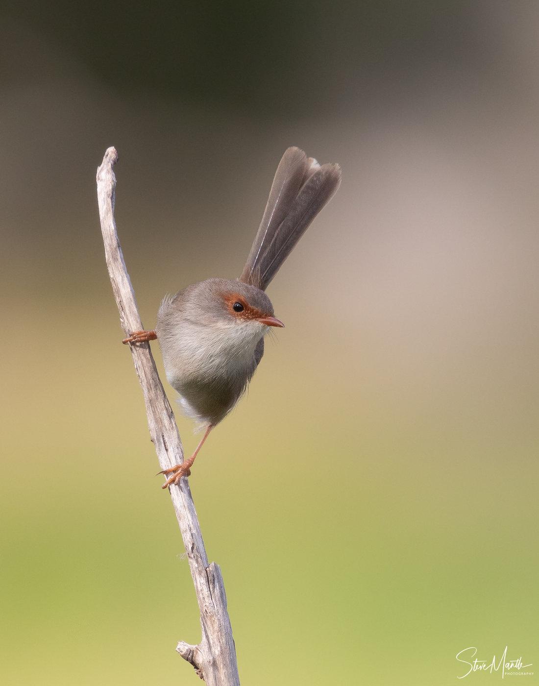 Superb Fairy-wren (Image ID 40709)