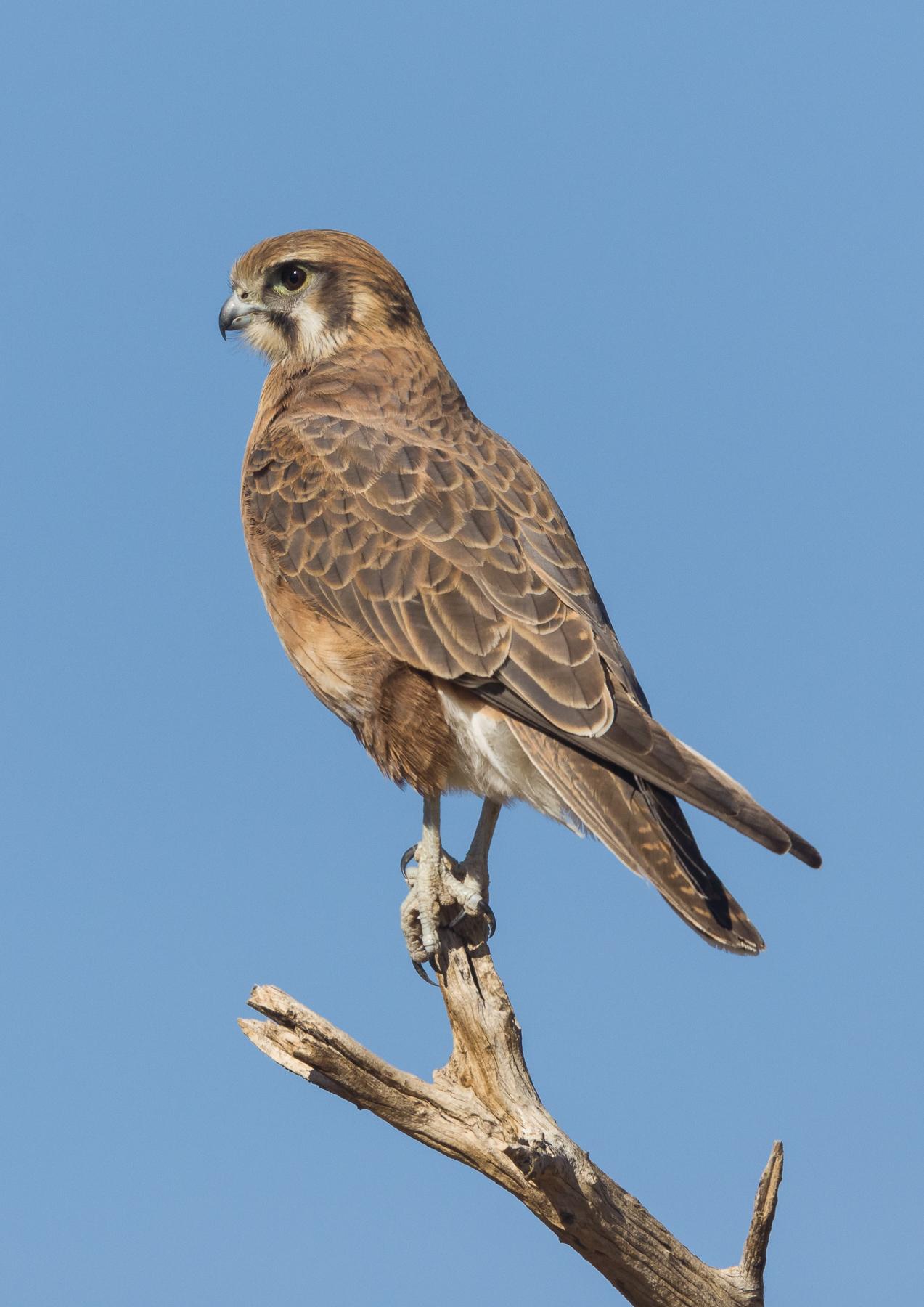 Brown Falcon (Image ID 40933)