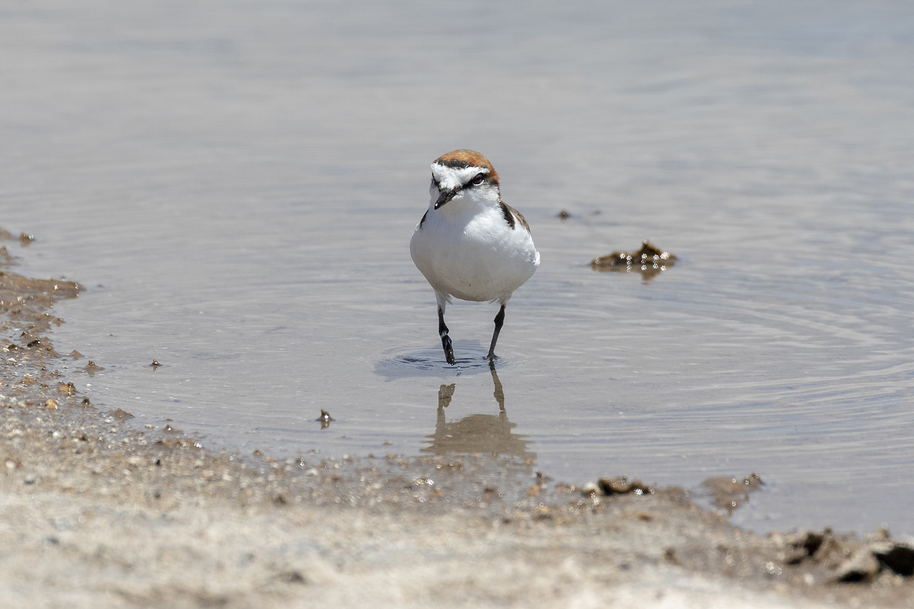 Red-capped Plover (Image ID 41060)