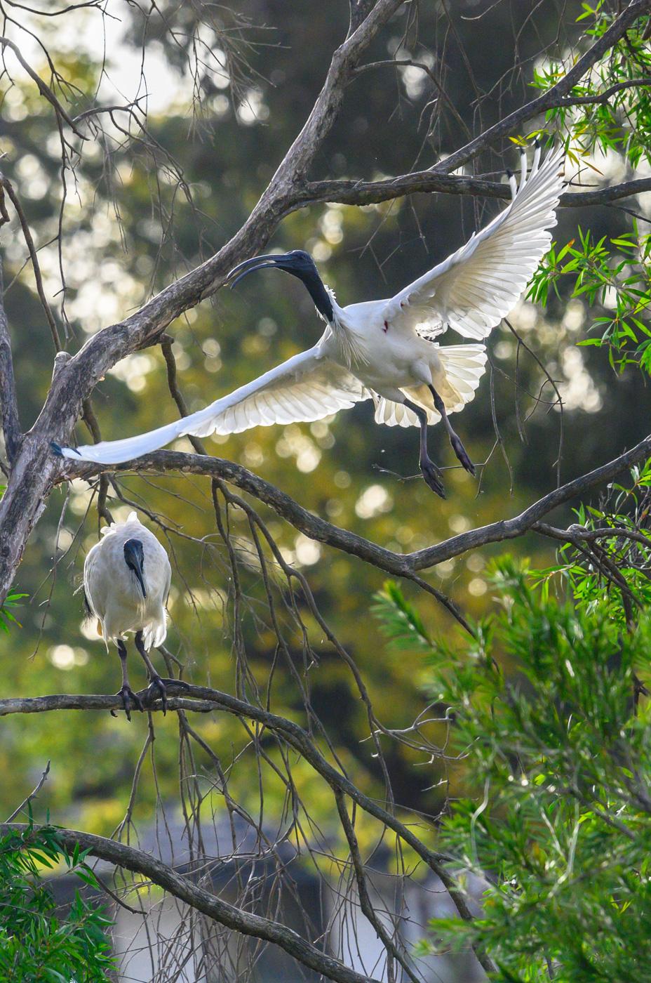 Australian White Ibis (Image ID 40729)