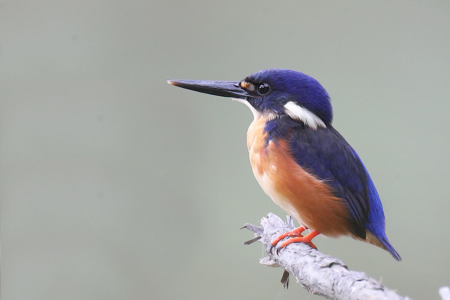 Azure Kingfisher (Image ID 40831)