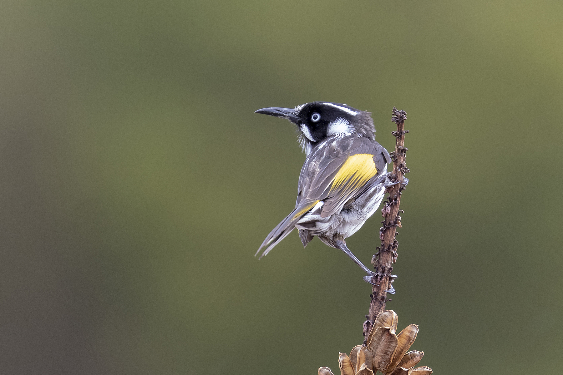 New Holland Honeyeater (Image ID 40688)