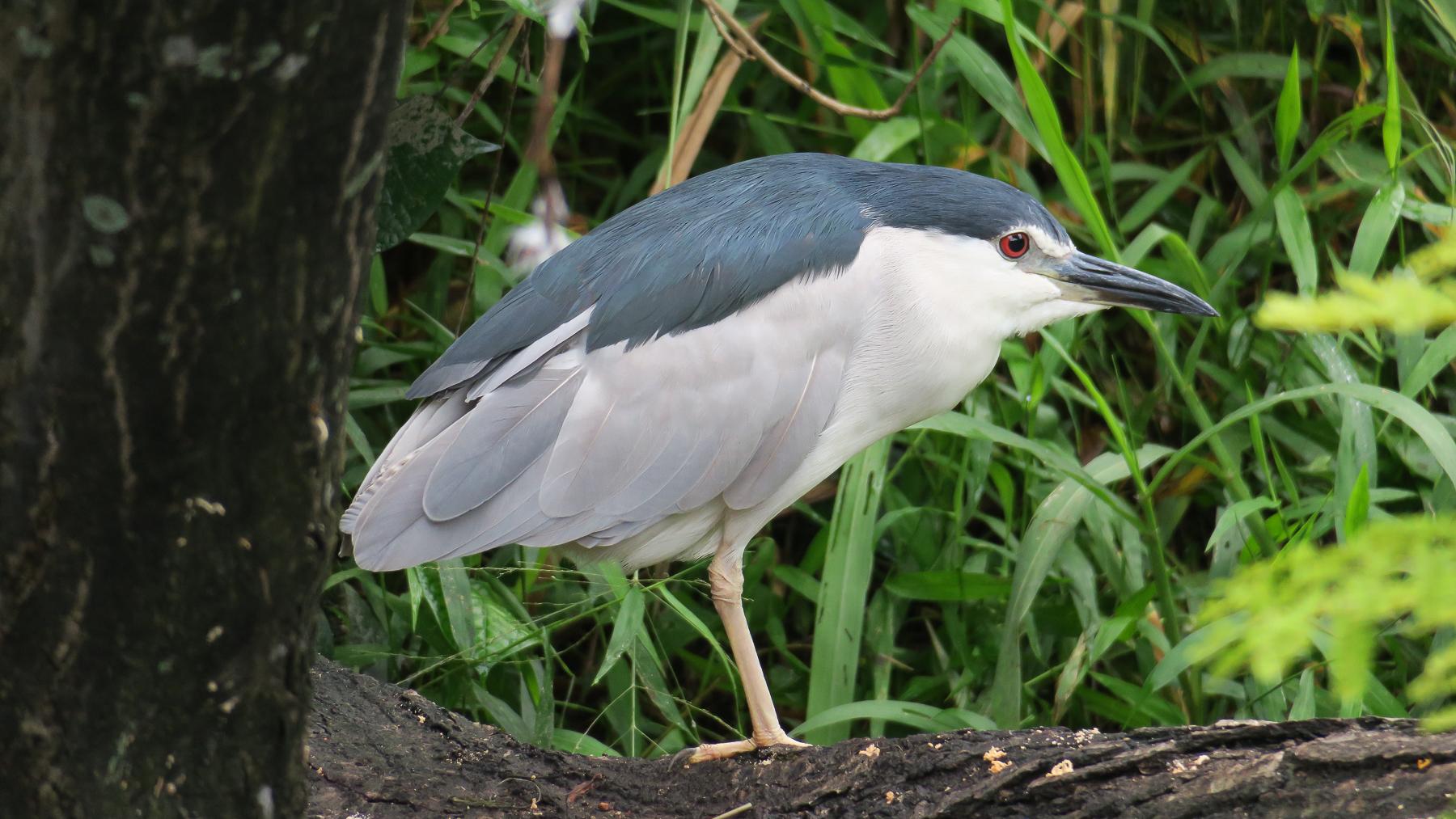 Black-crowned Night-Heron (V) (Image ID 40844)