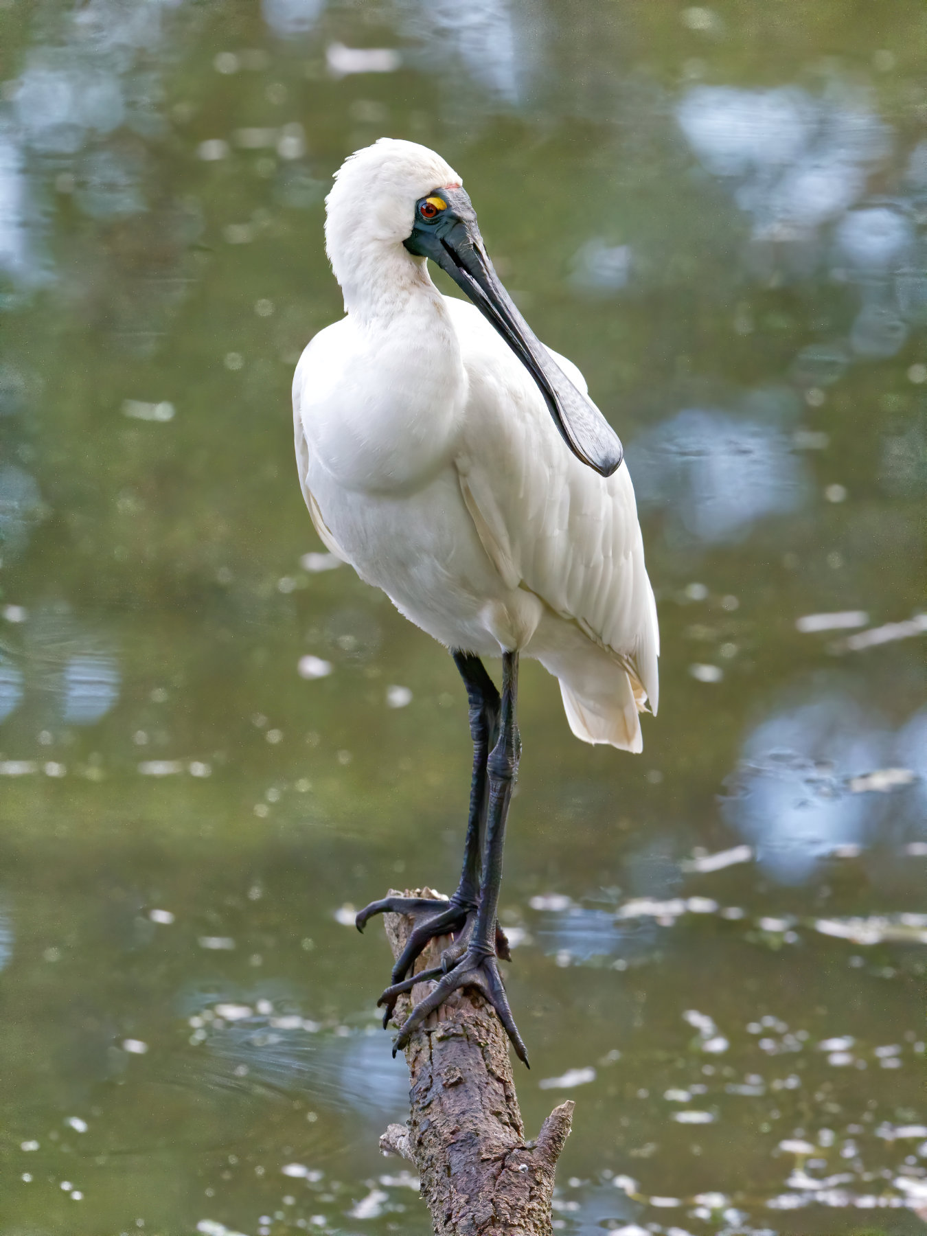 Royal Spoonbill (Image ID 40962)