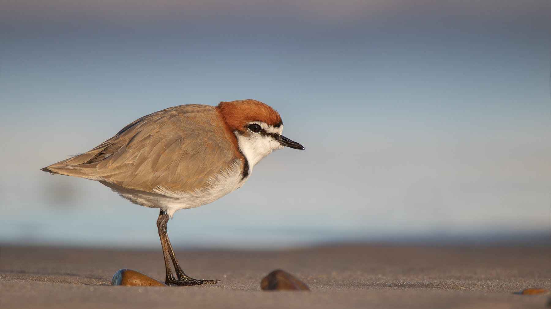 Red-capped Plover (Image ID 40751)
