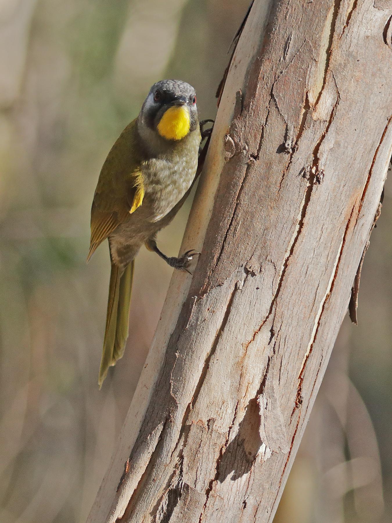 Yellow-throated Honeyeater (Image ID 40807)