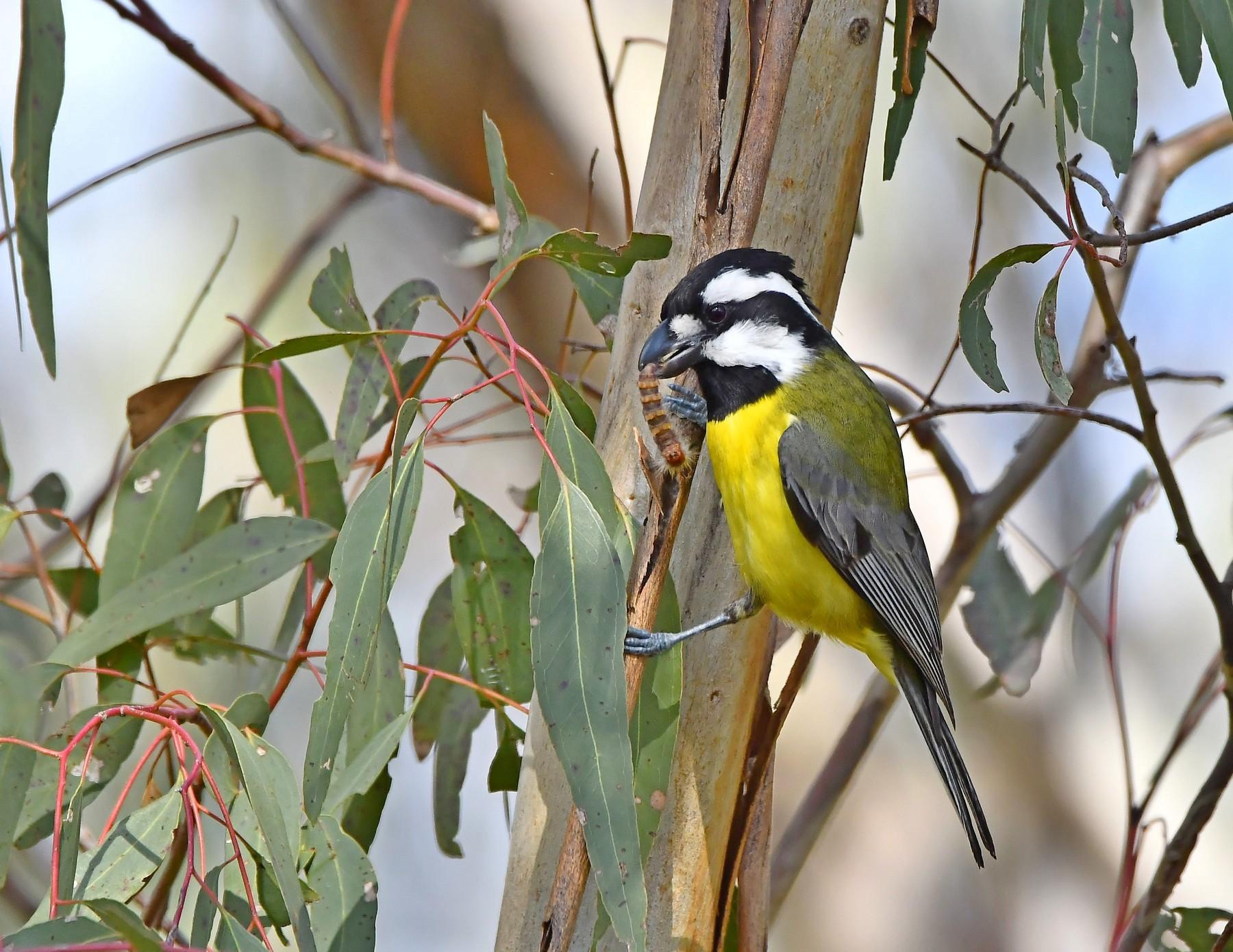 Eastern Shrike-tit (Image ID 41073)