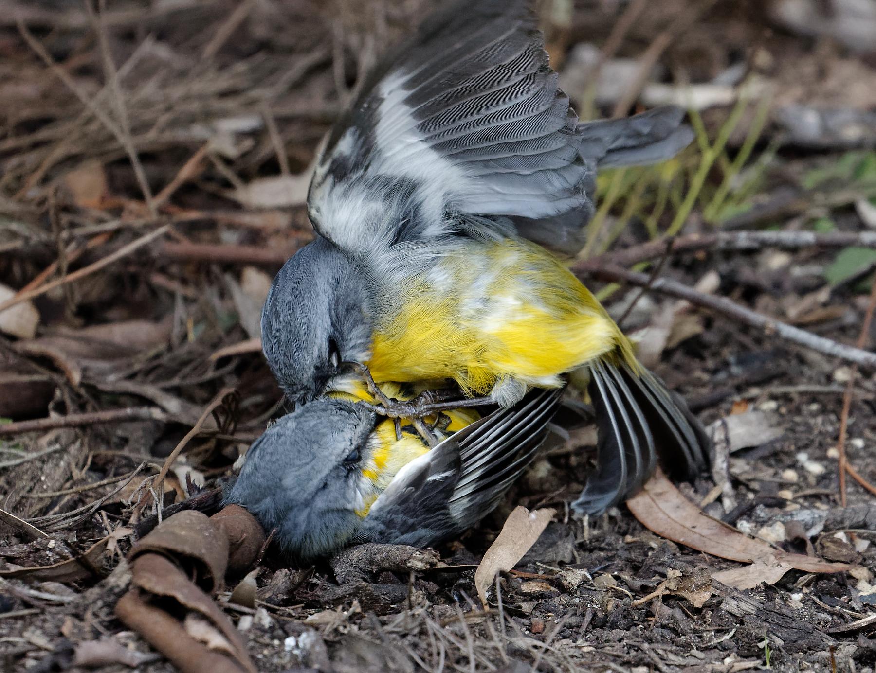 Eastern Yellow Robin (Image ID 41008)