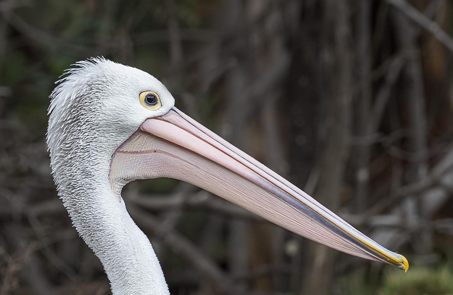 Australian Pelican (Image ID 40918)