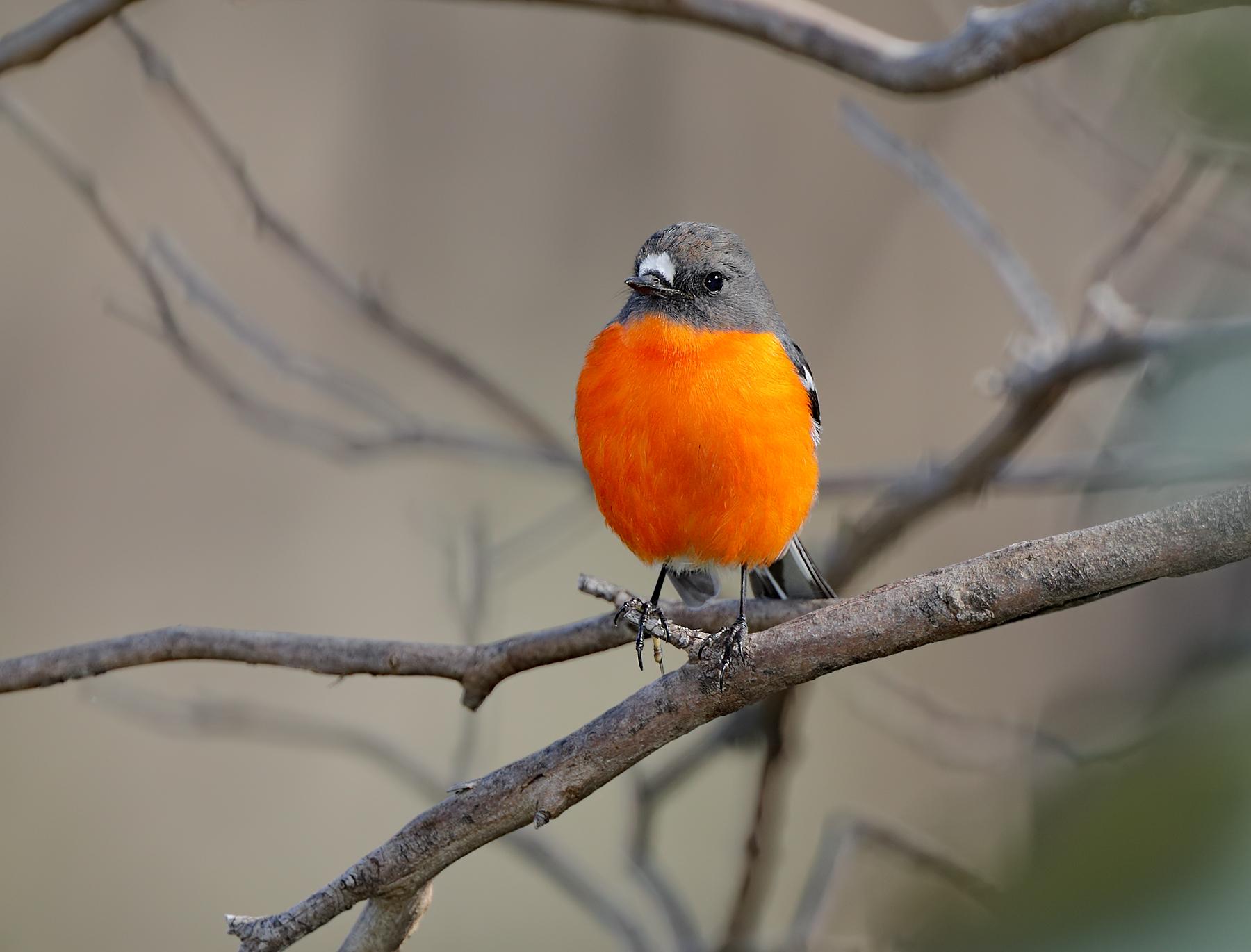 Flame Robin (Image ID 40716)
