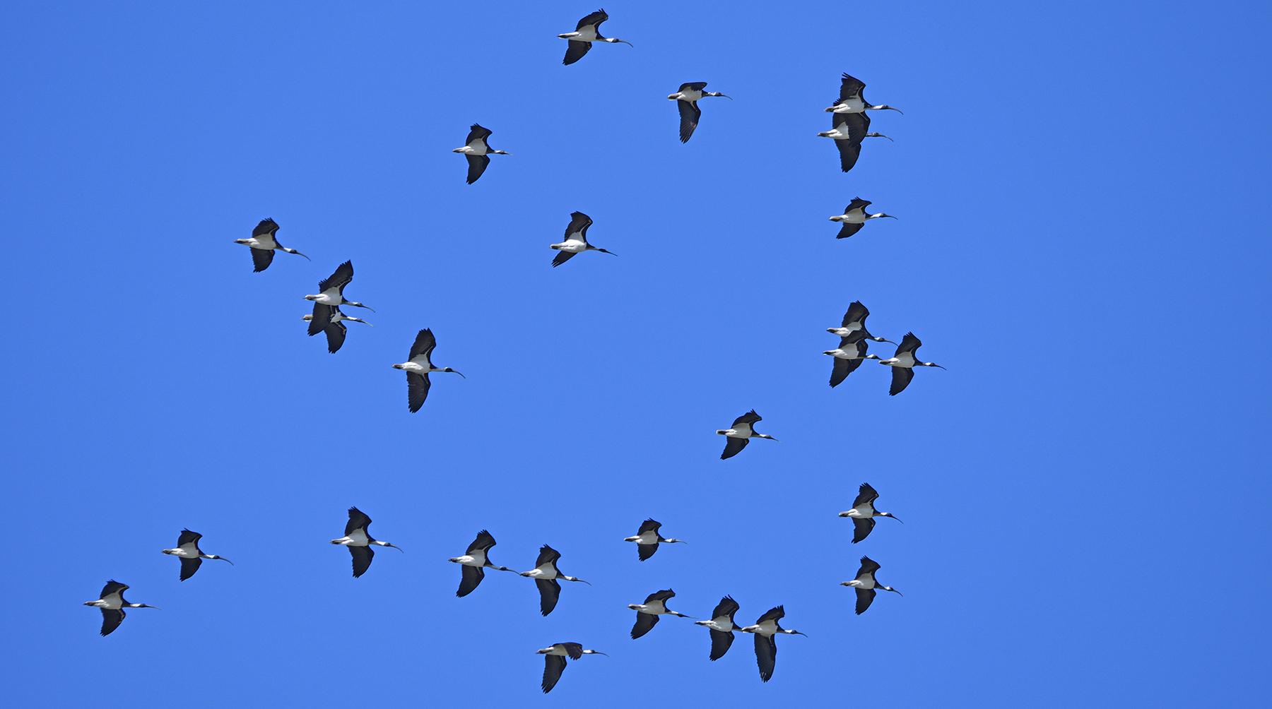 Straw-necked Ibis (Image ID 40877)