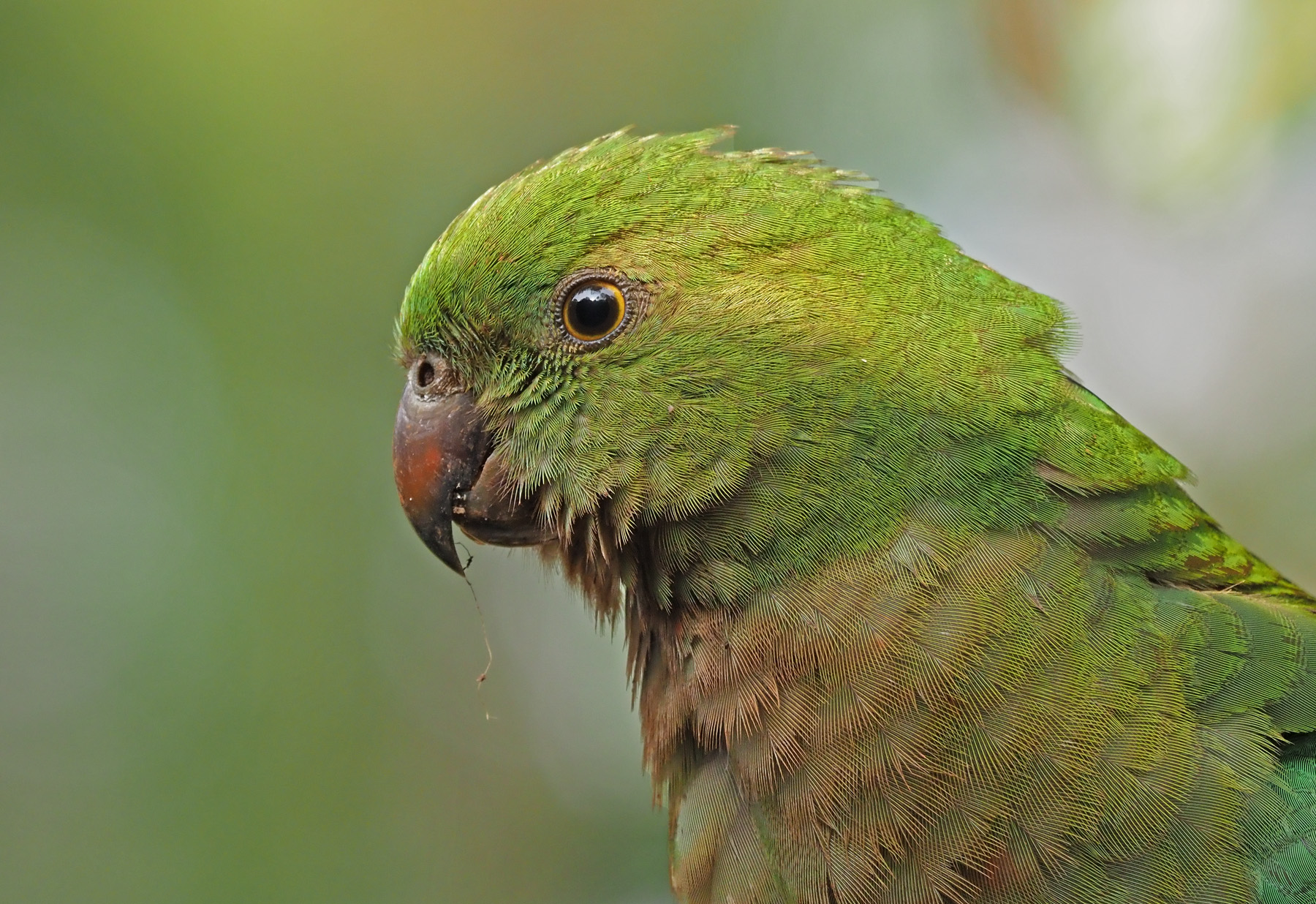 Australian King-Parrot (Image ID 40899)