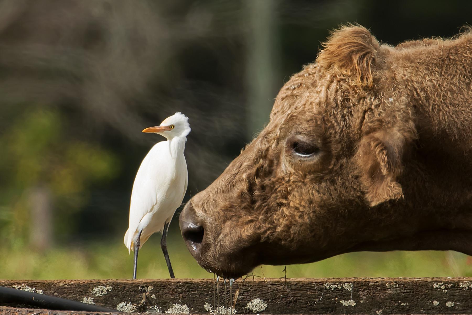 Cattle Egret (Image ID 40695)