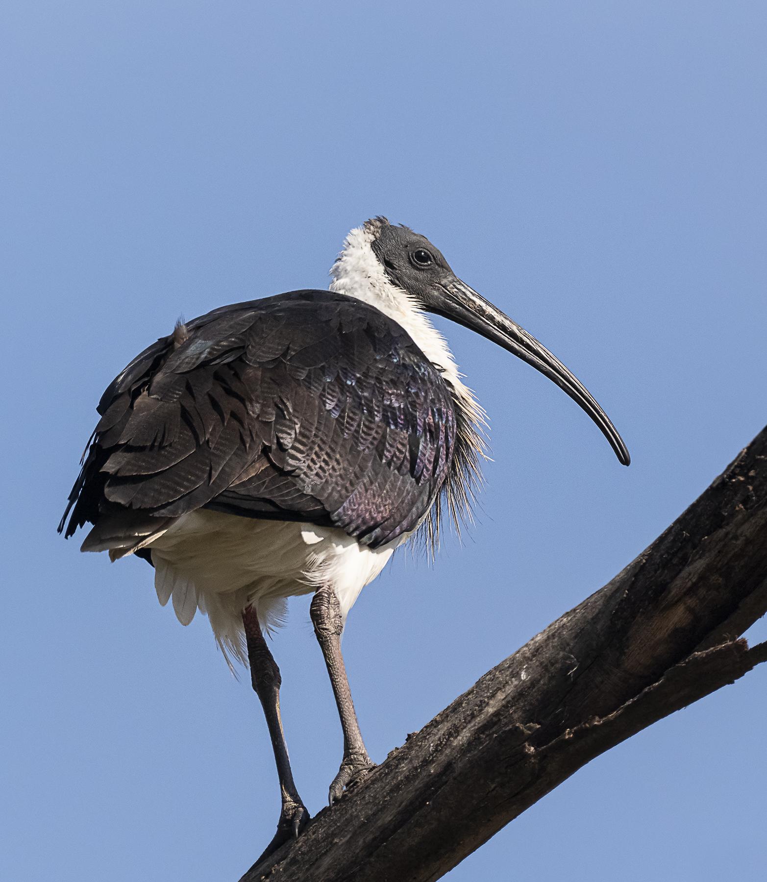 Straw-necked Ibis (Image ID 40968)