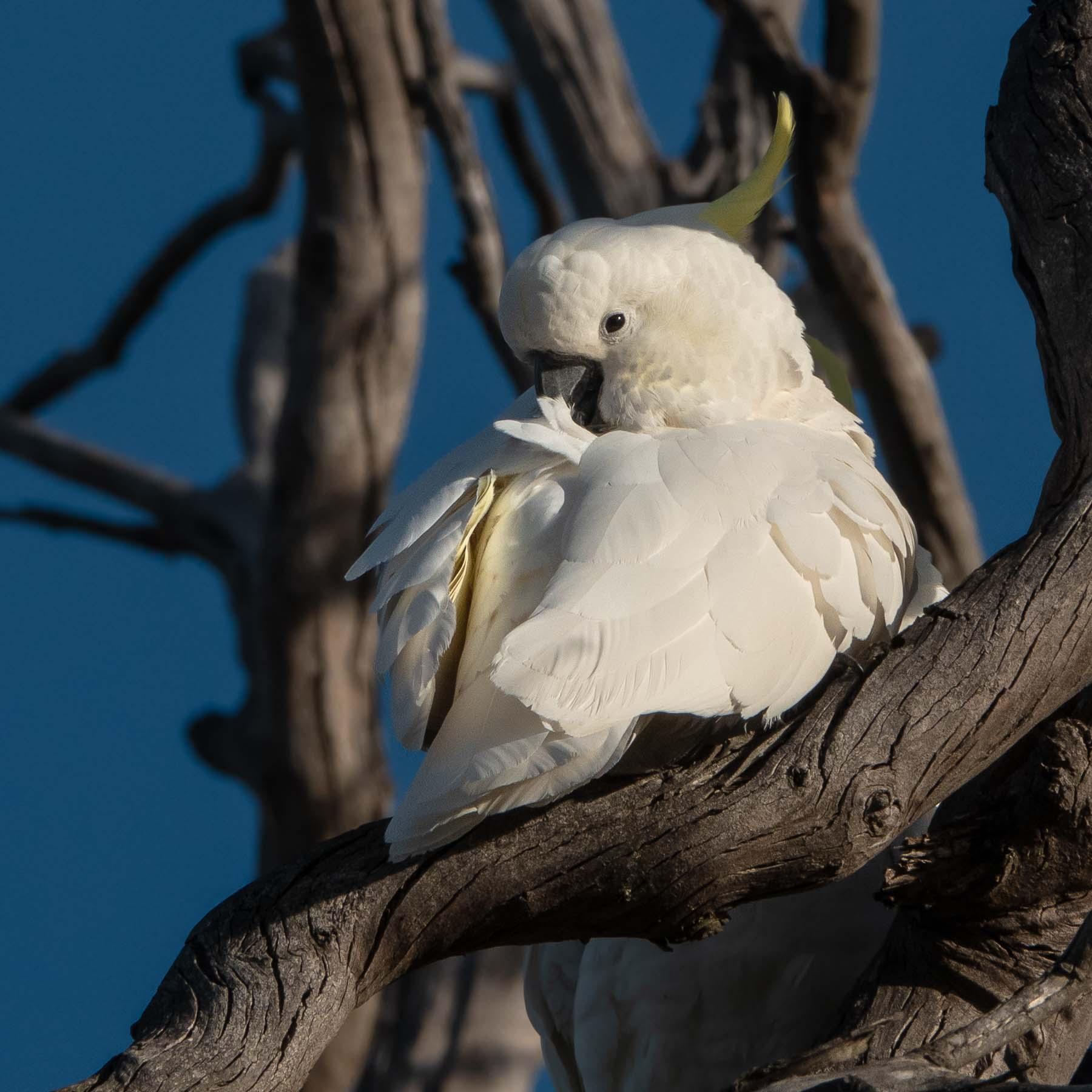 Sulphur-crested Cockatoo (Image ID 41038)