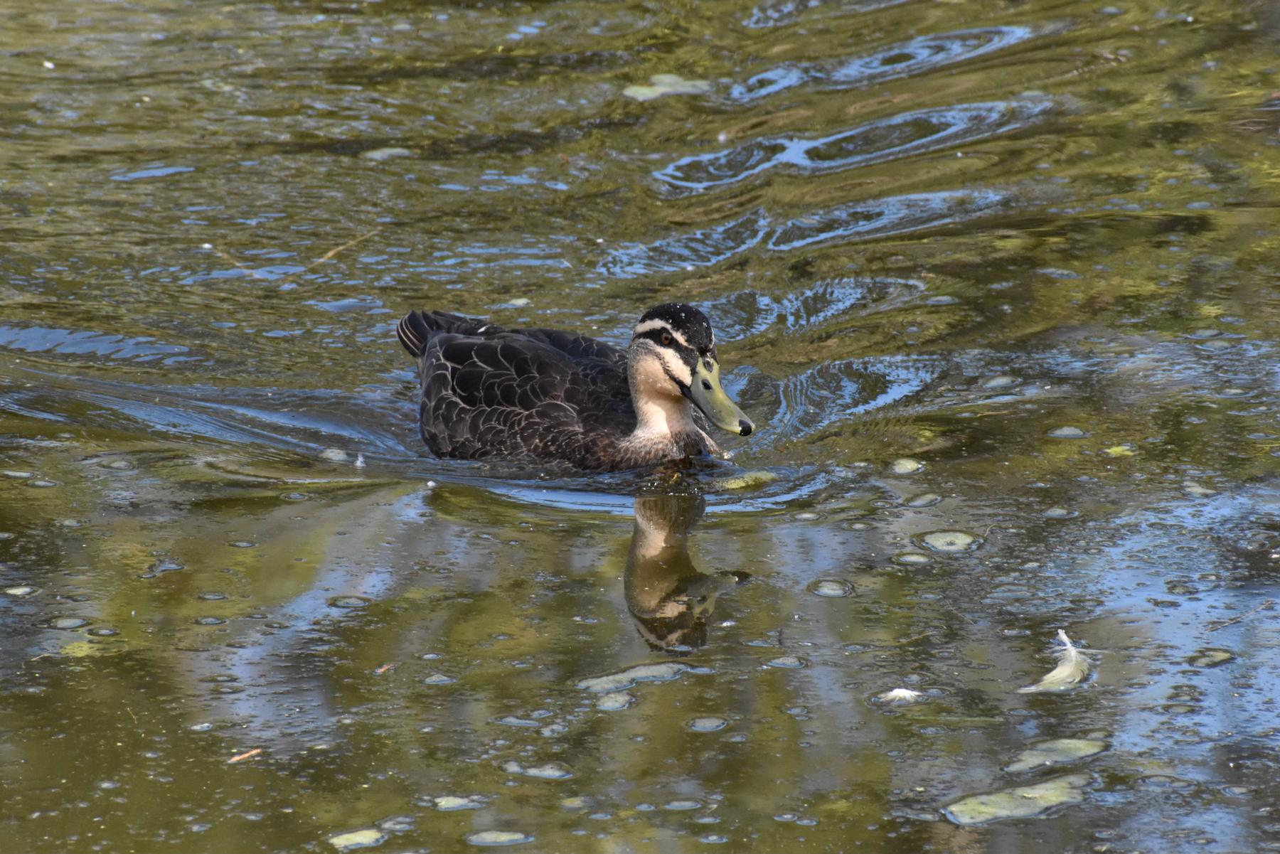 Pacific Black Duck (Image ID 40773)