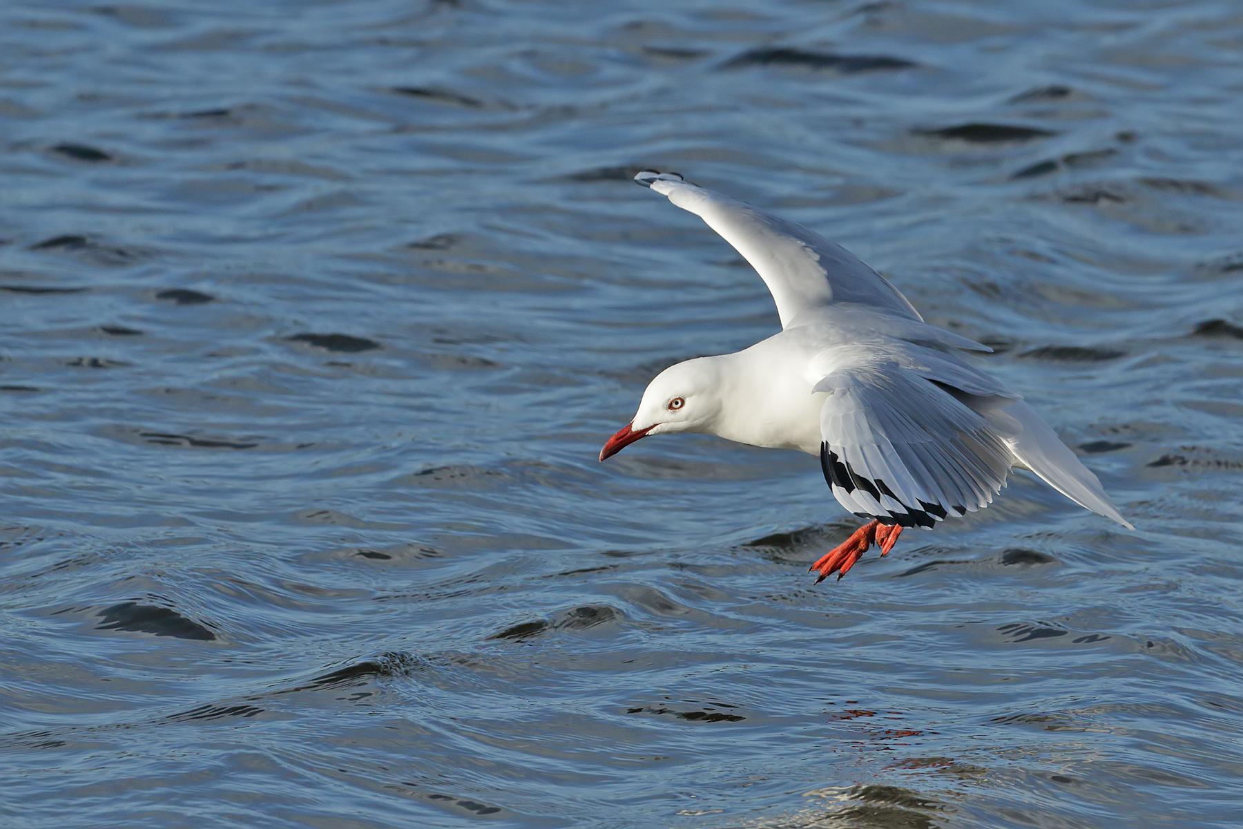 Silver Gull (Image ID 40924)