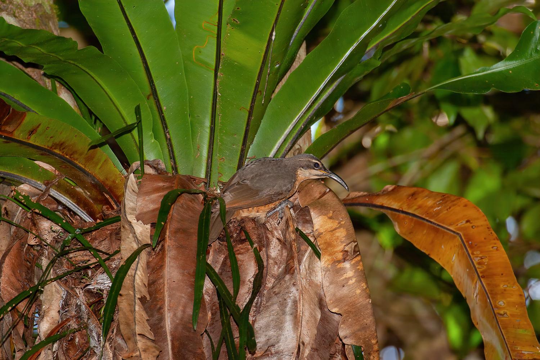 Victoria's Riflebird (Image ID 41024)