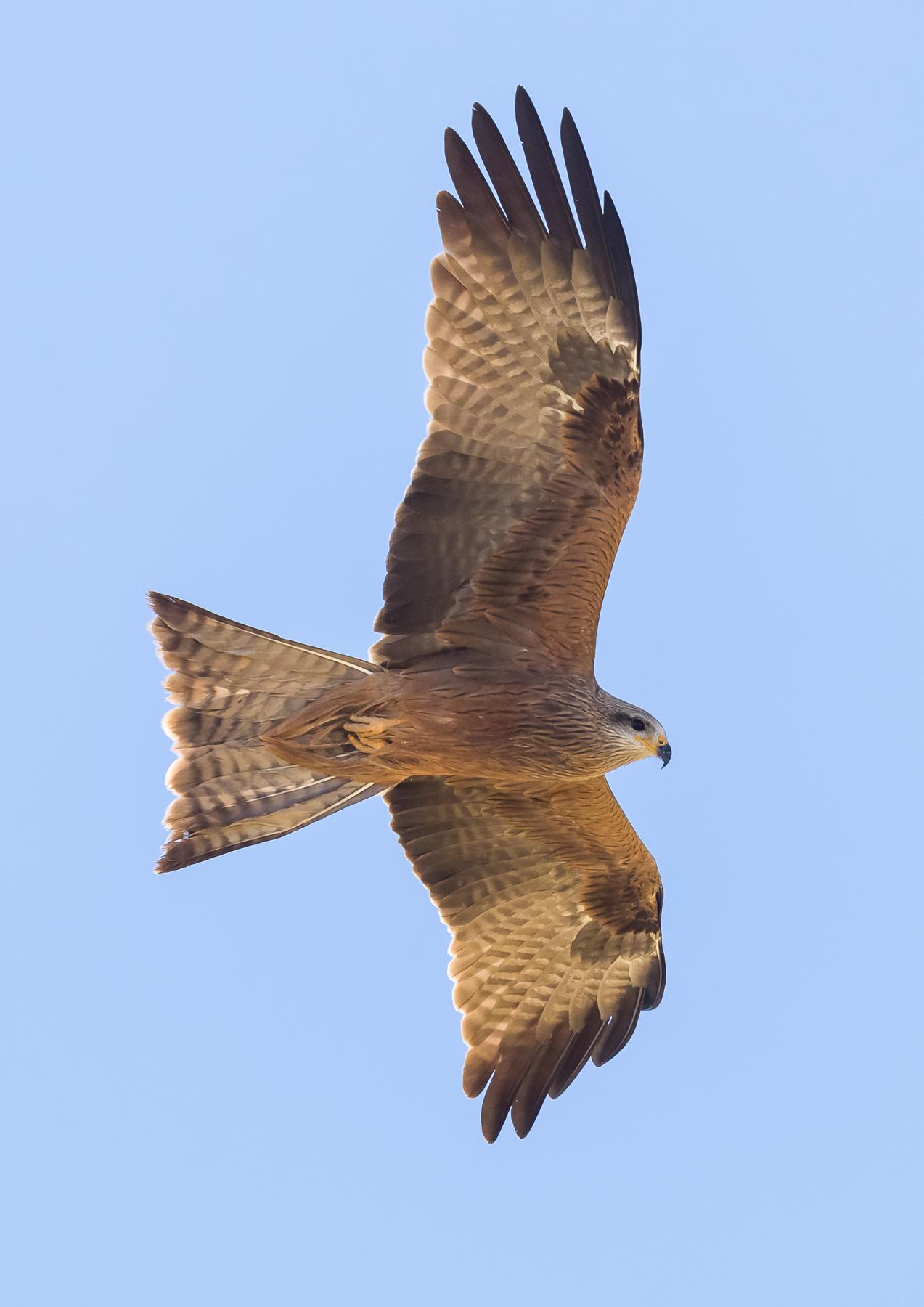 Black Kite (Image ID 40809)