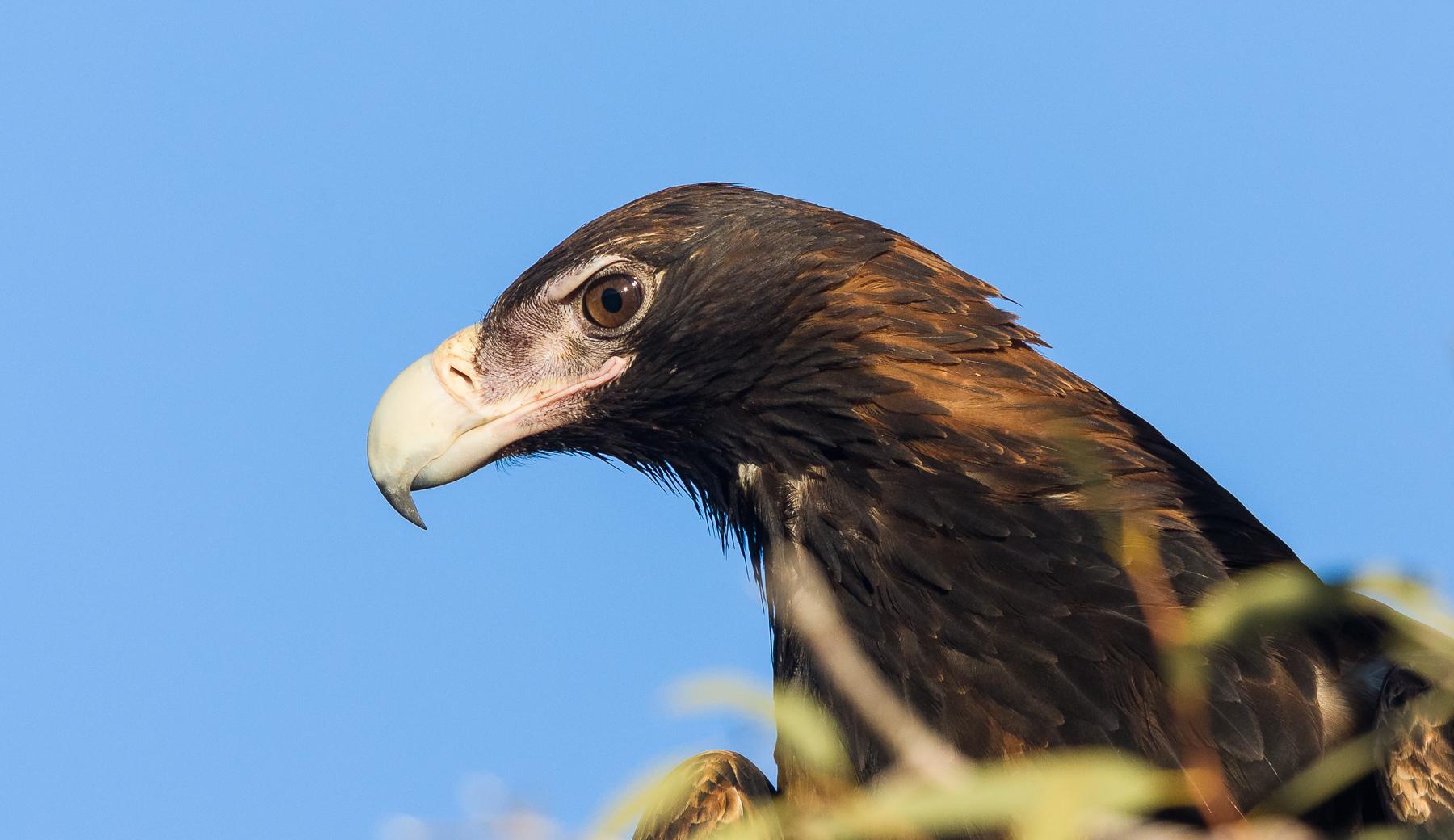 Wedge-tailed Eagle (Image ID 40808)