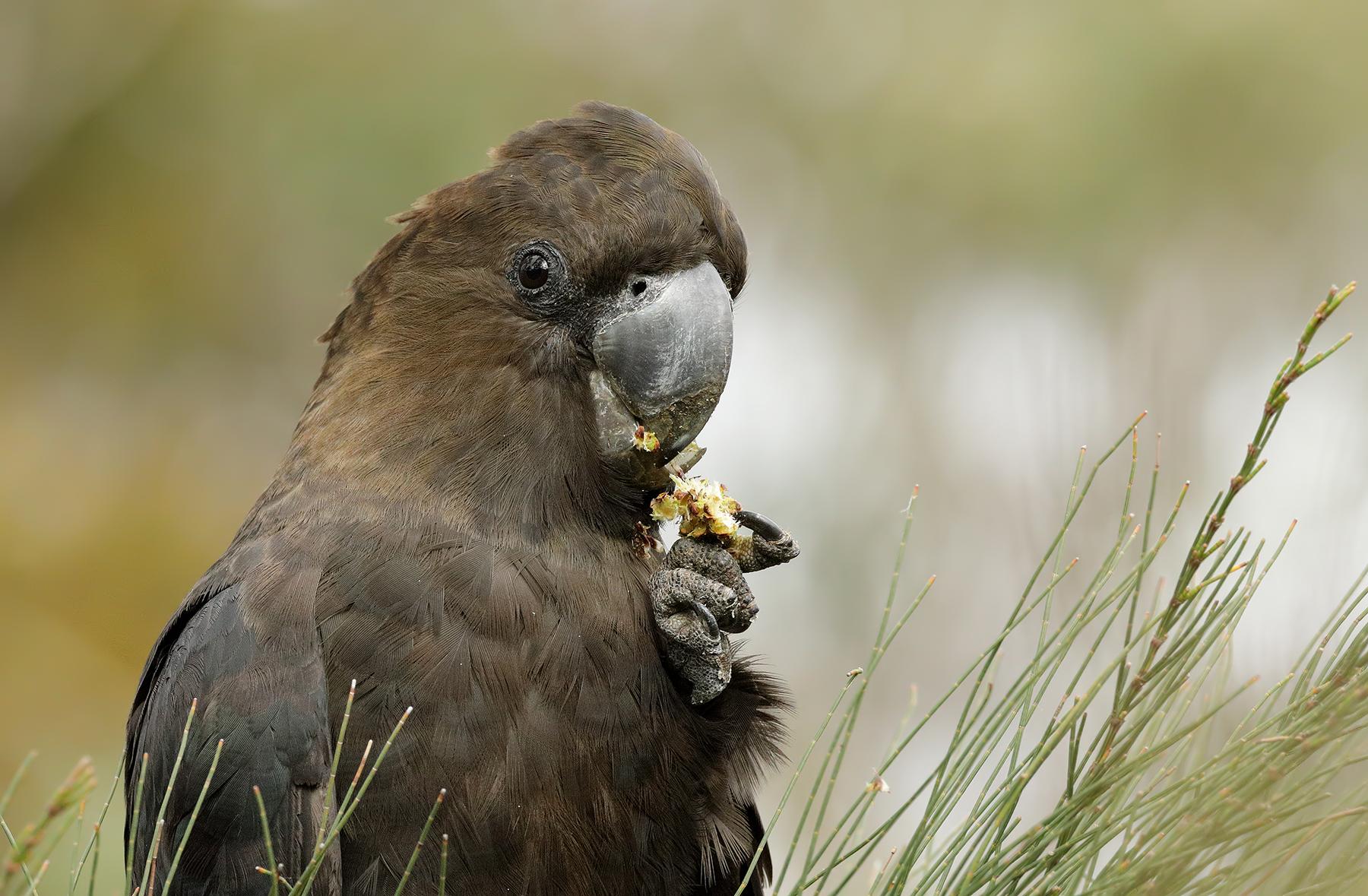 Glossy Black-Cockatoo (Image ID 41027)