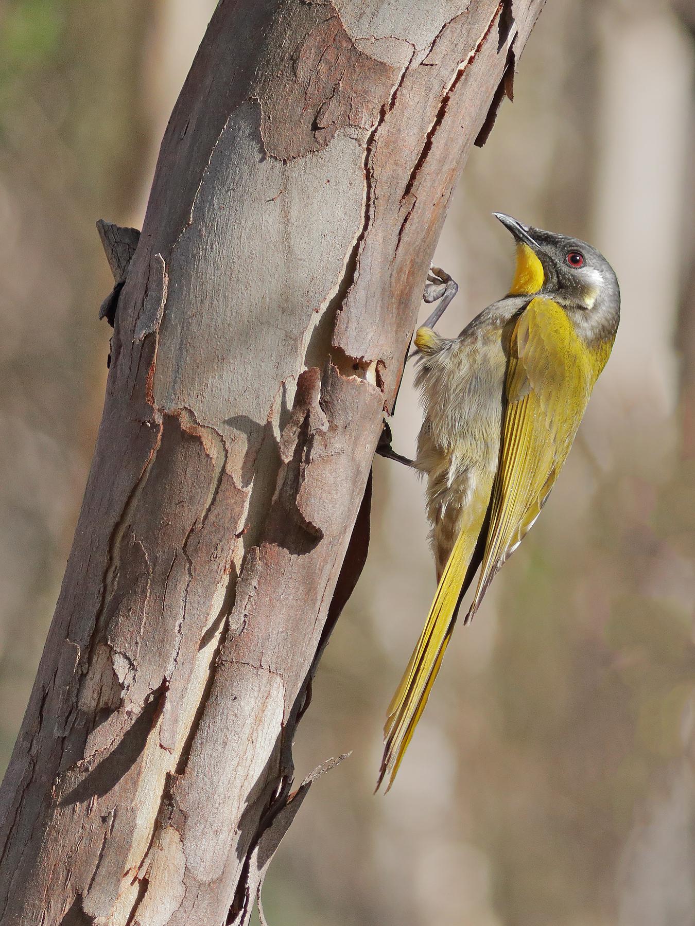 Yellow-throated Honeyeater (Image ID 40806)