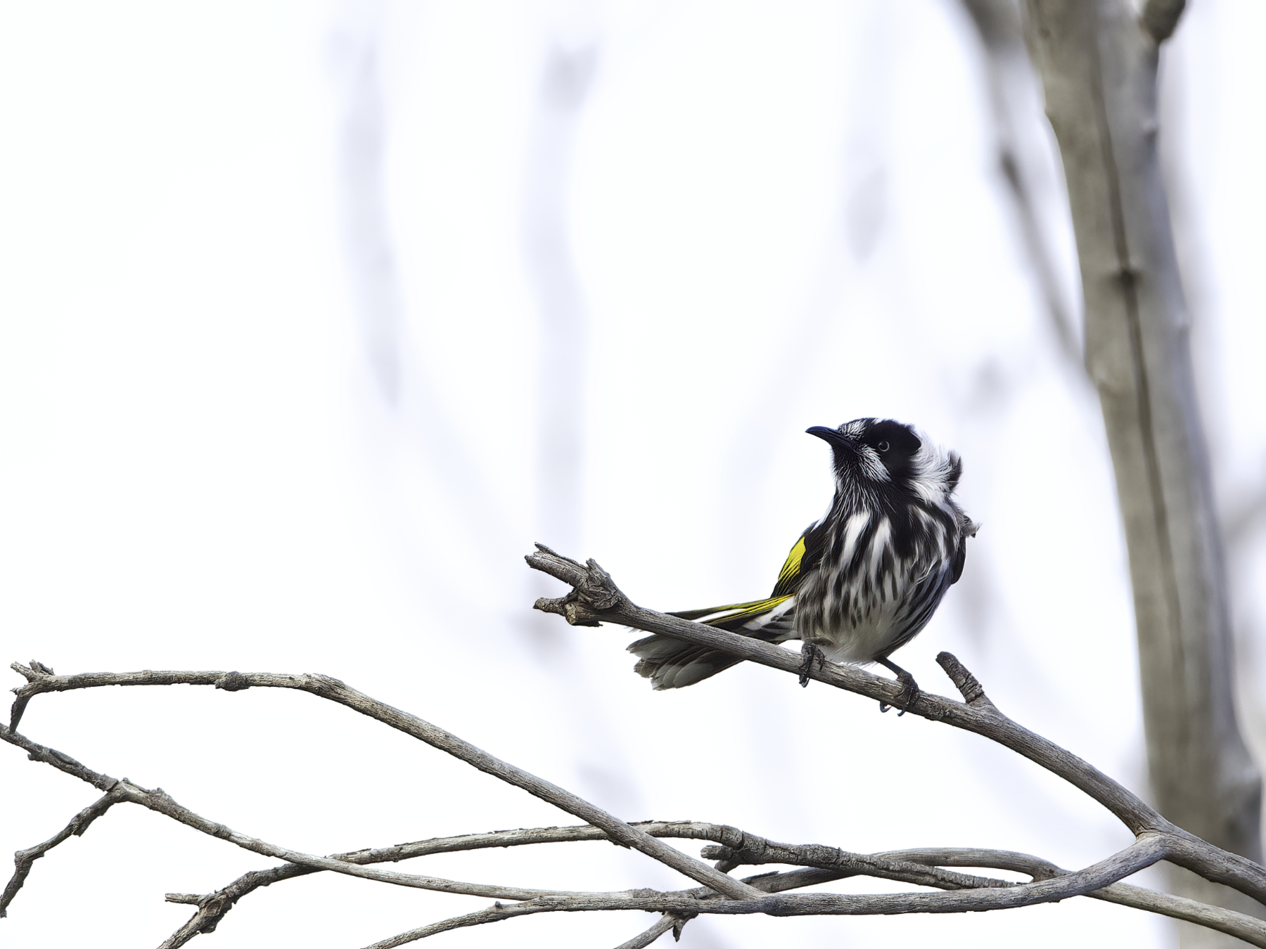 New Holland Honeyeater, White-cheeked Honeyeater (Image ID 41273)