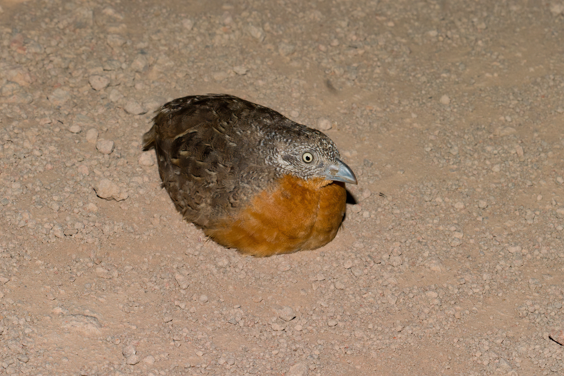 Red-chested Button-quail (Image ID 41183)