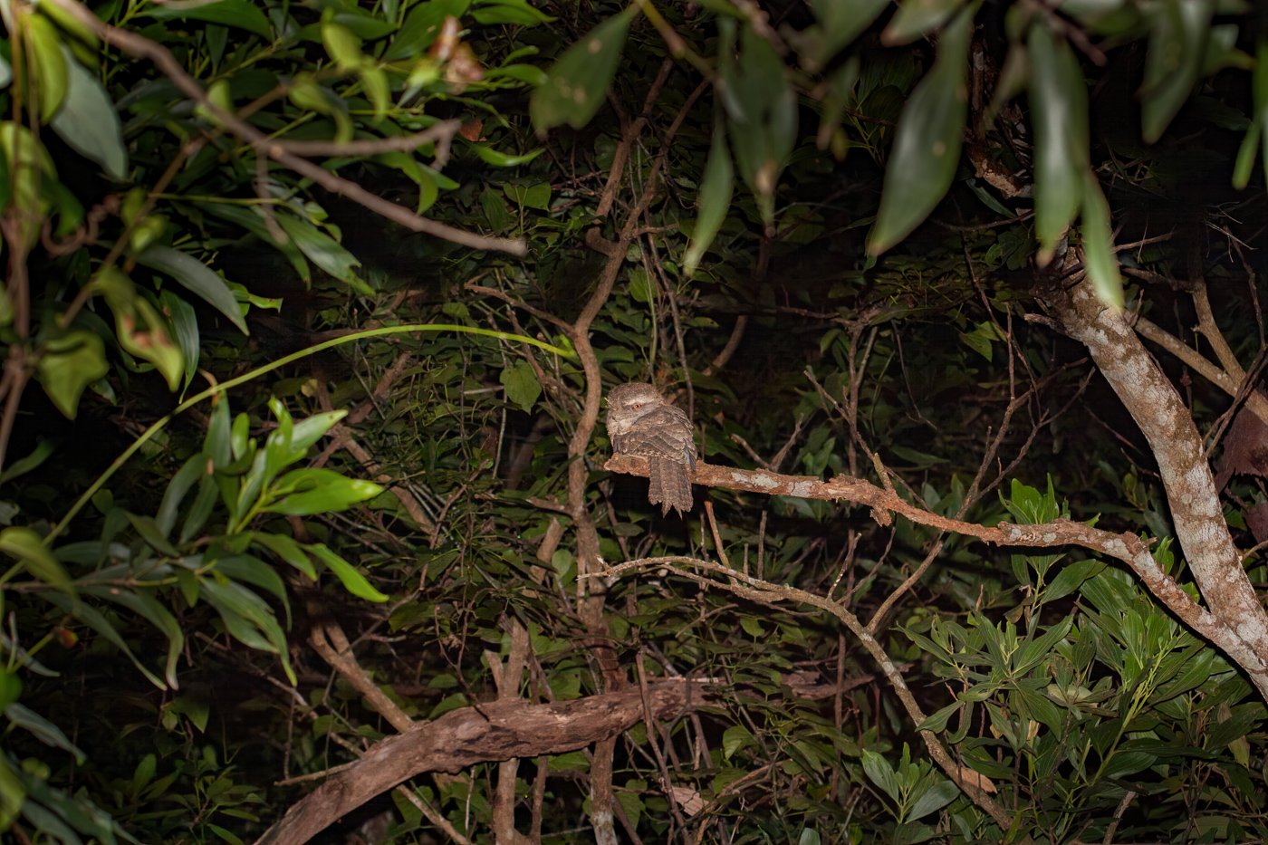 Marbled Frogmouth (Image ID 41191)