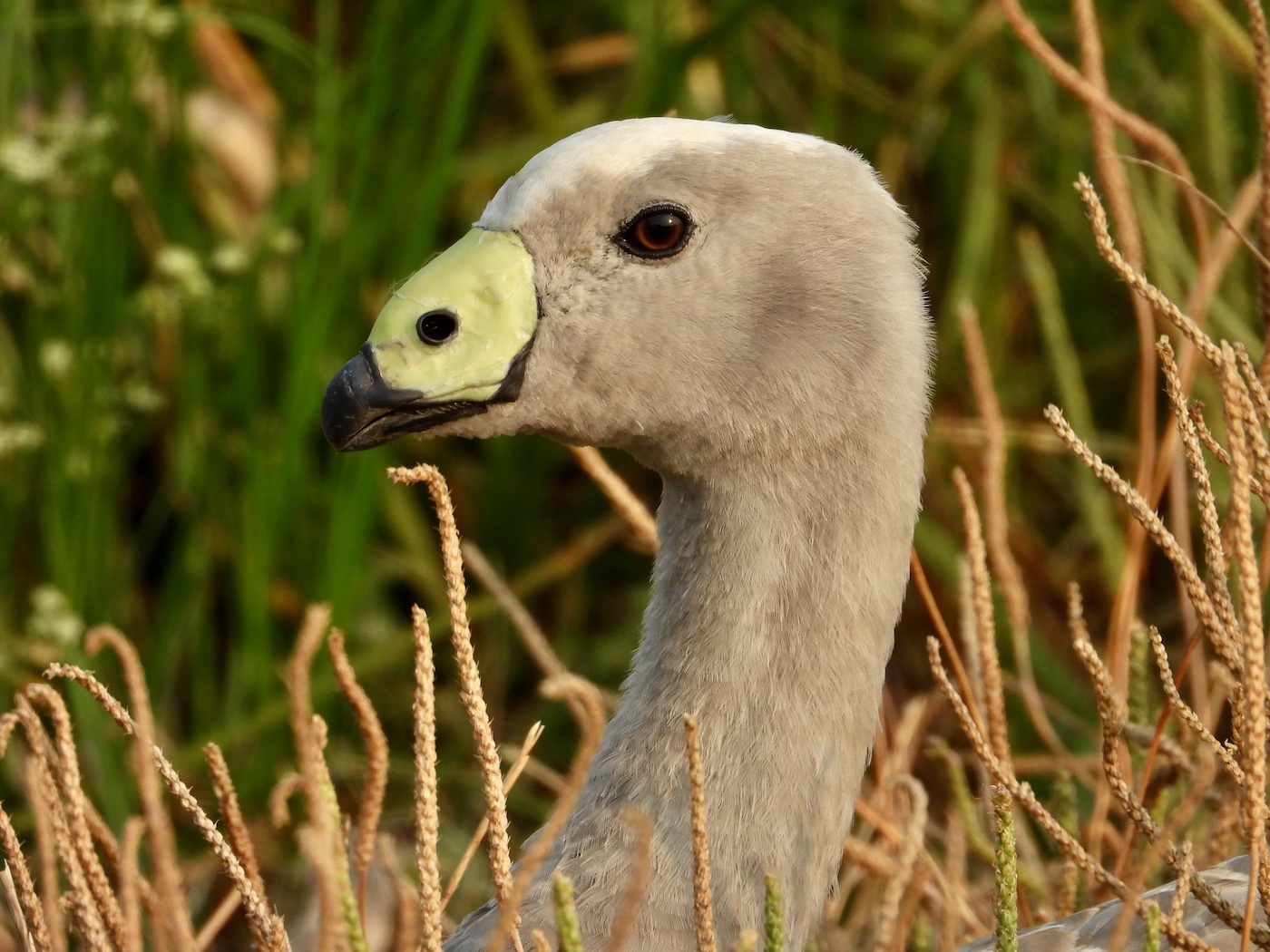 Cape Barren Goose (Image ID 41578)