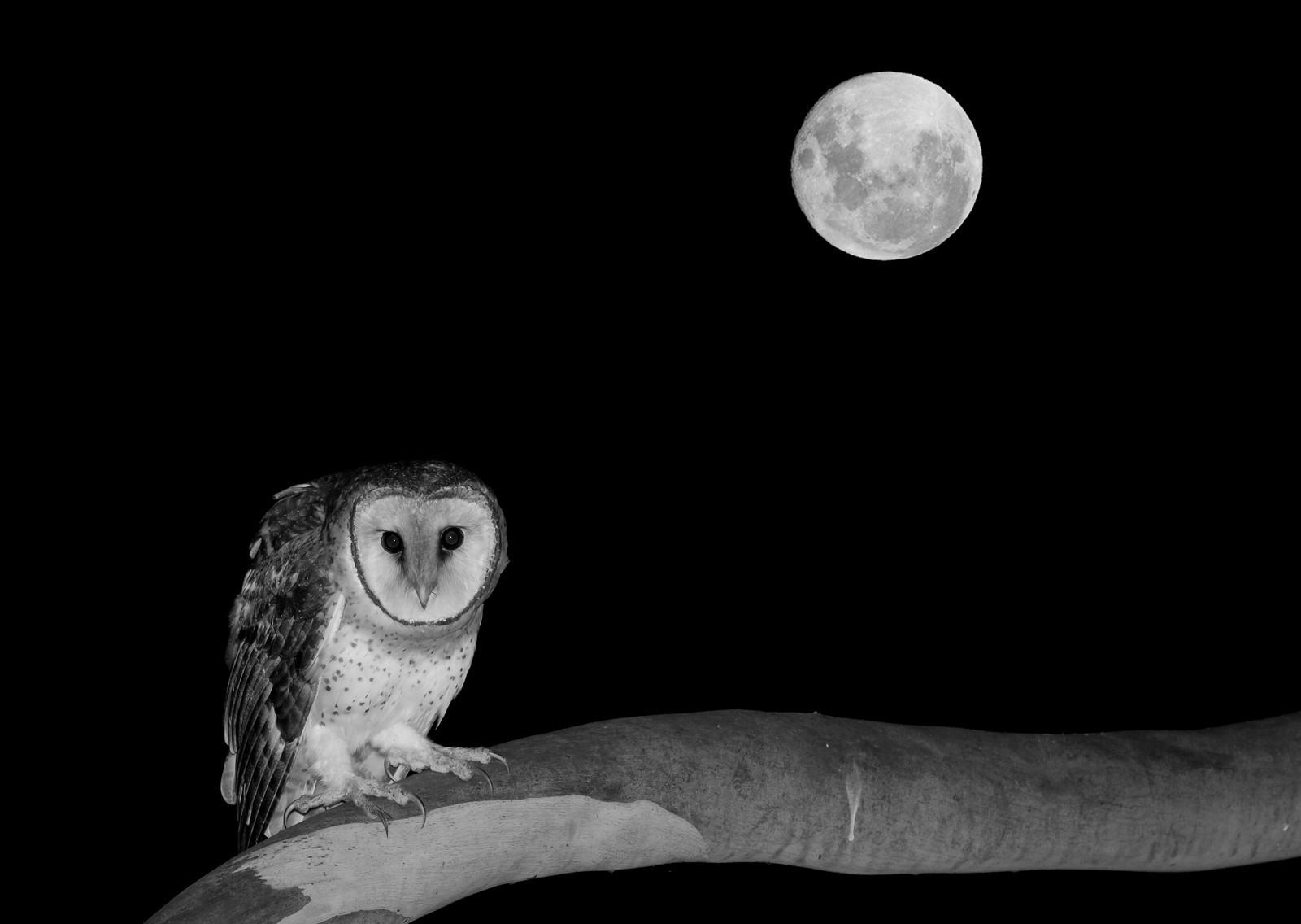Masked Owl (Image ID 41333)