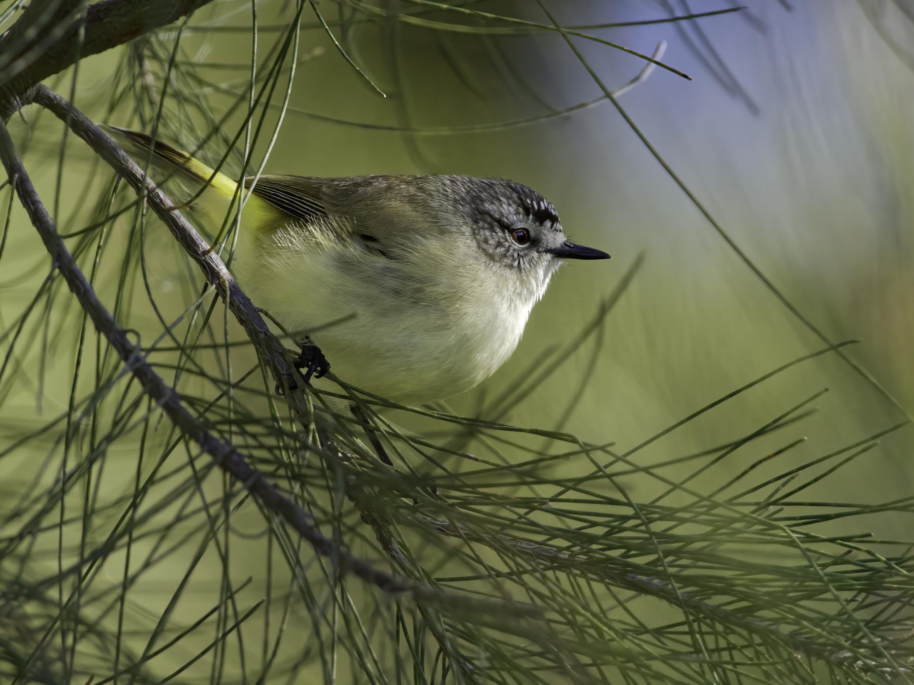 Yellow-rumped Thornbill (Image ID 41441)