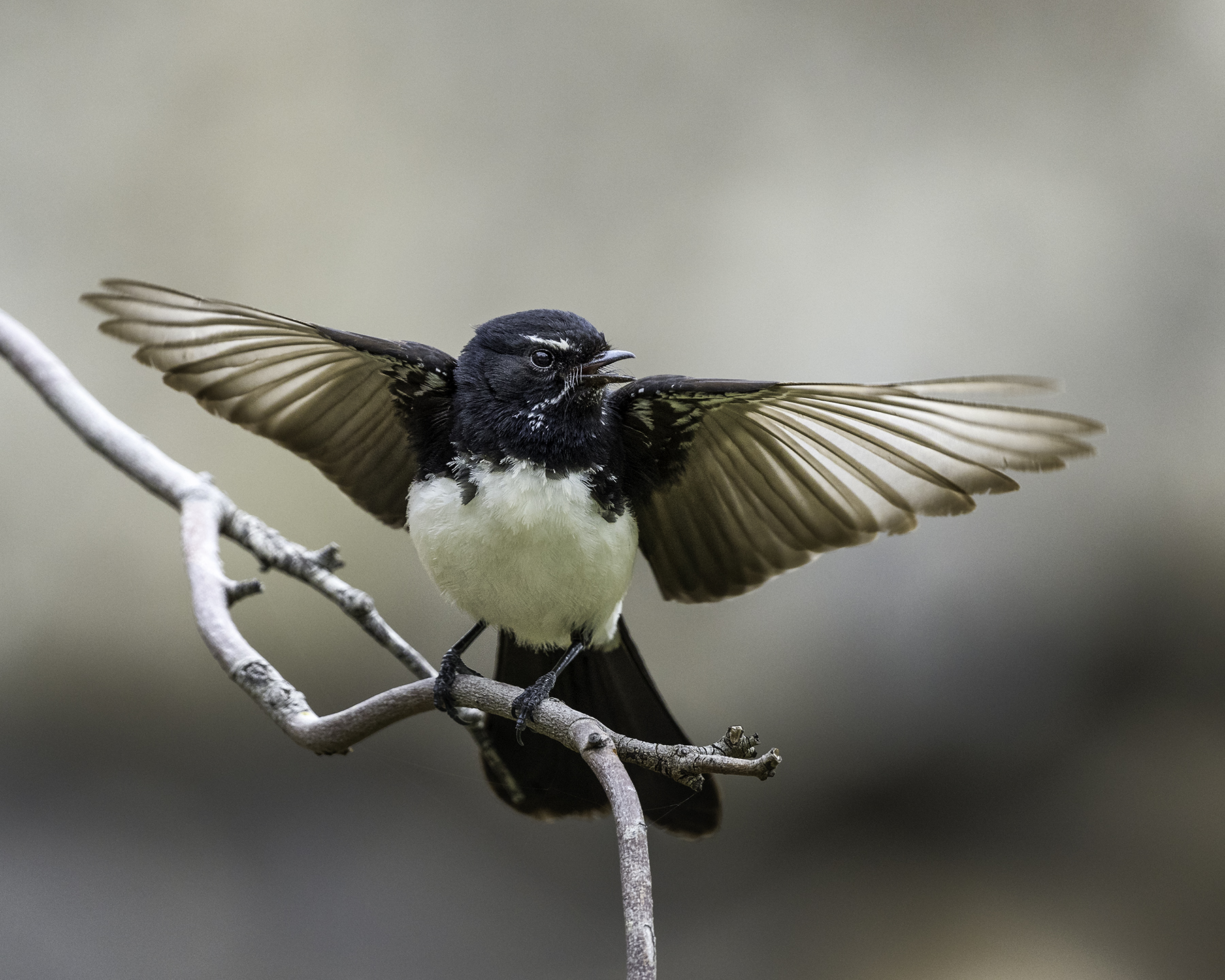 Willie Wagtail (Image ID 41229)