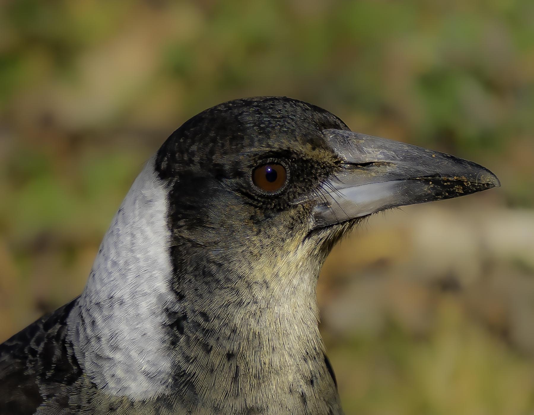 Australian Magpie (Image ID 41521)